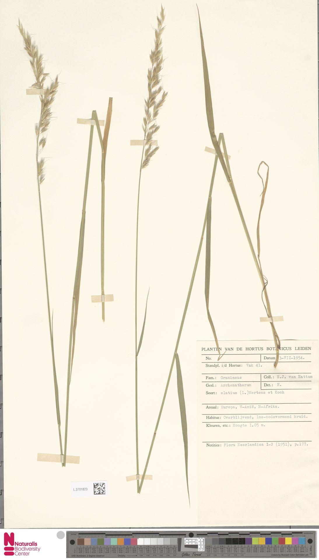 L.3701823   Arrhenatherum elatius (L.) P.Beauv. ex J.Presl & C.Presl