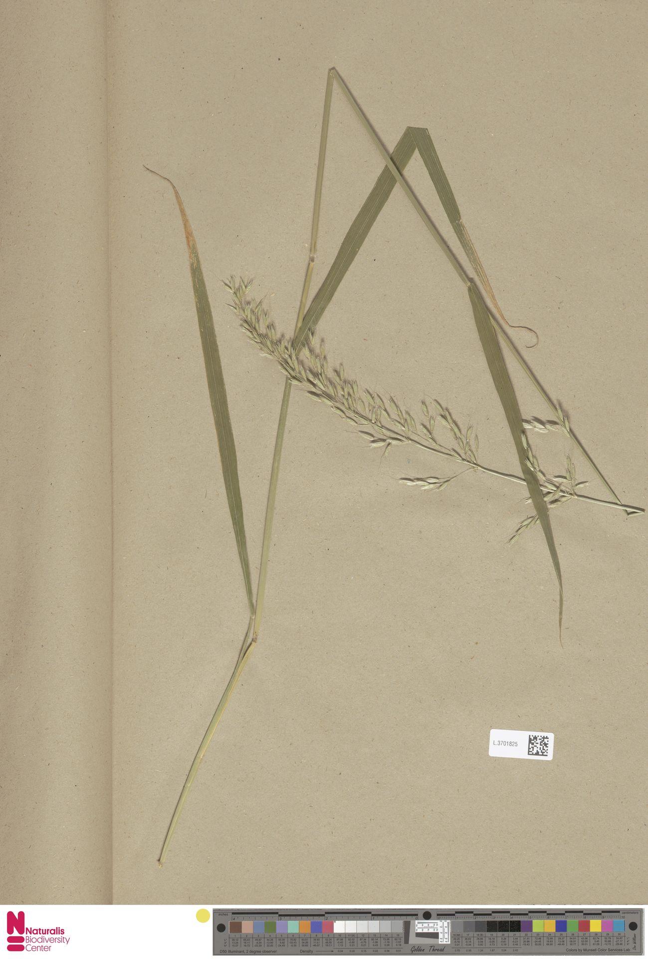 L.3701825 | Arrhenatherum elatius (L.) P.Beauv. ex J.Presl & C.Presl