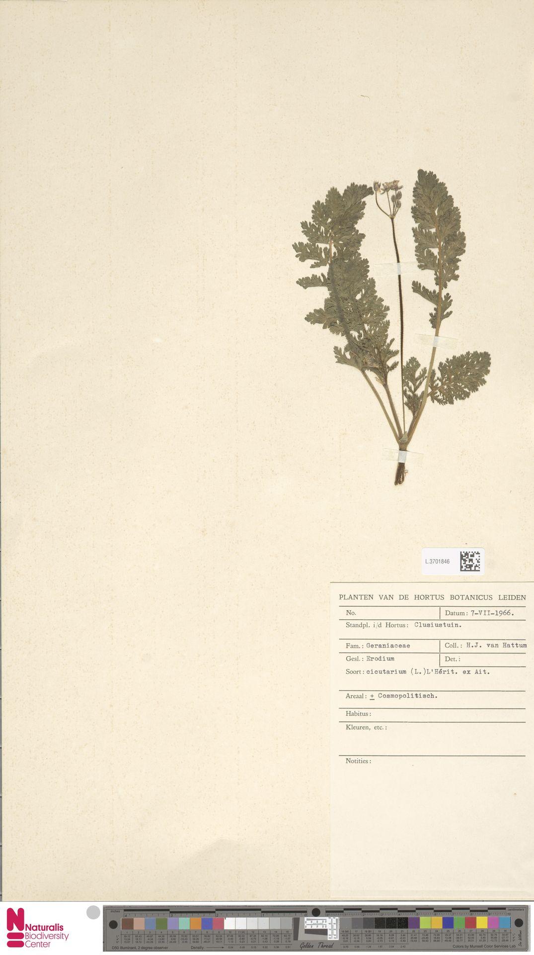 L.3701846 | Erodium cicutarium (L.) L'Hér.
