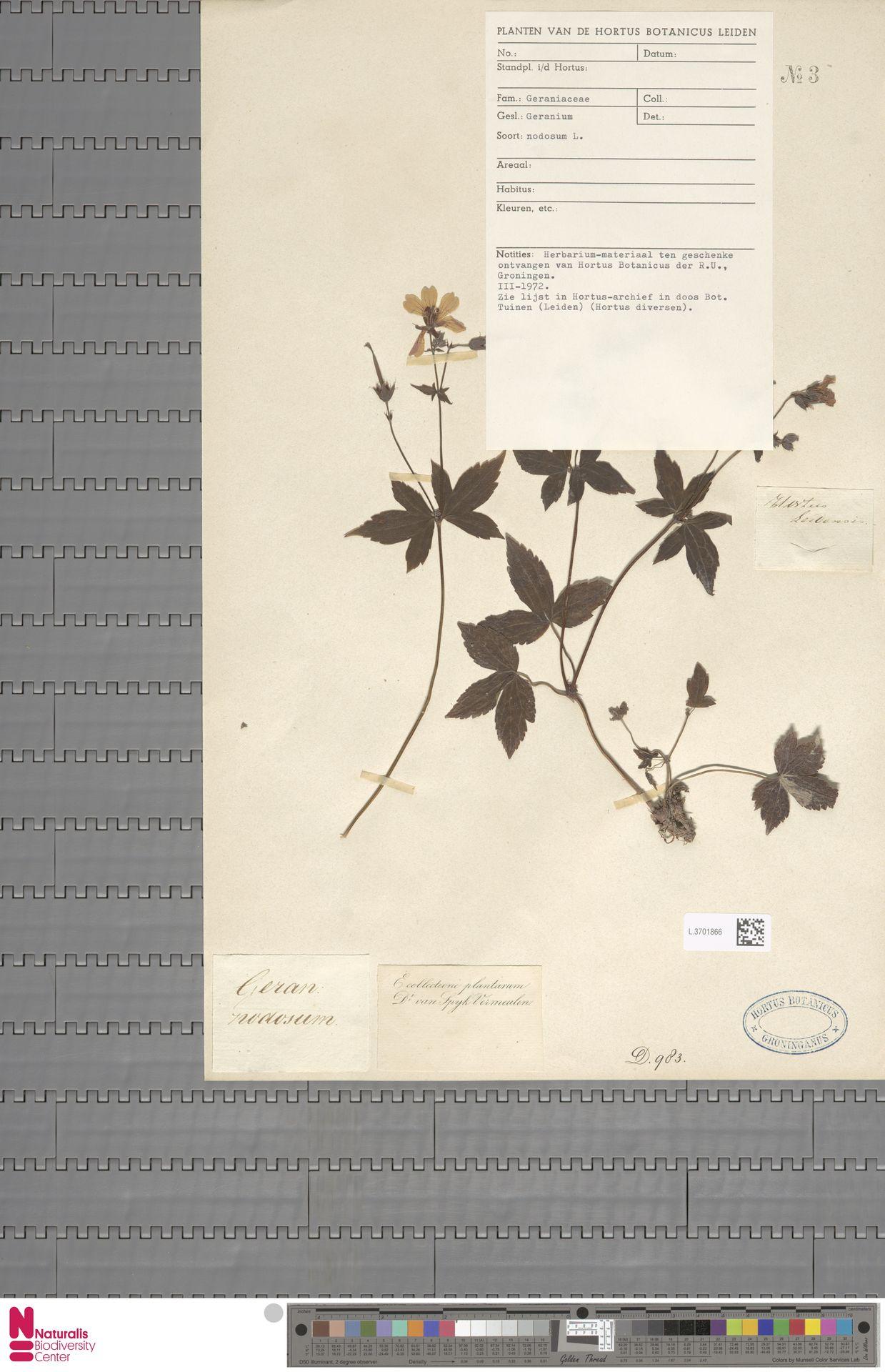 L.3701866 | Geranium nodosum L.