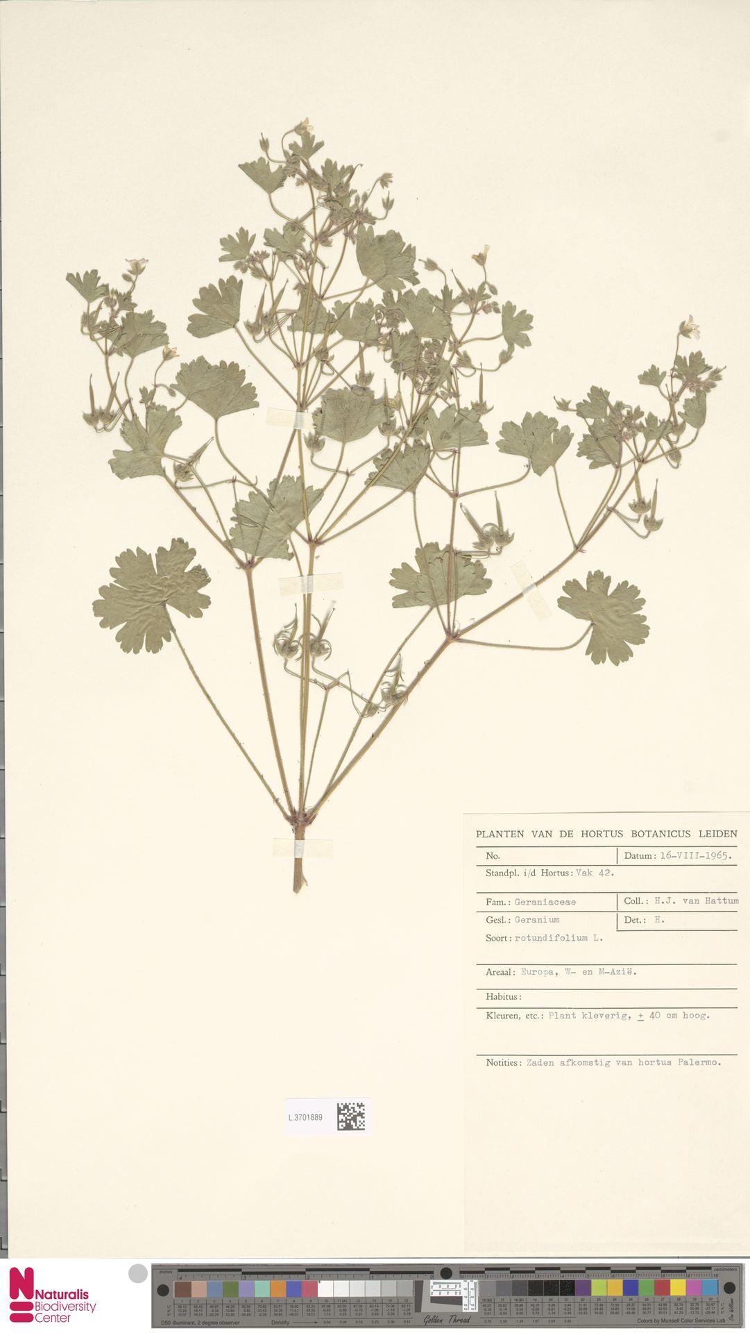 L.3701889 | Geranium rotundifolium L.
