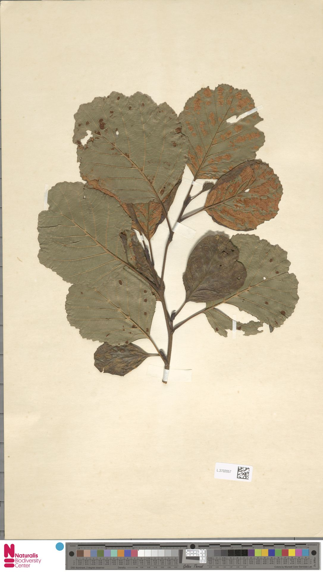 L.3702057   Alnus glutinosa (L.) Gaertn.