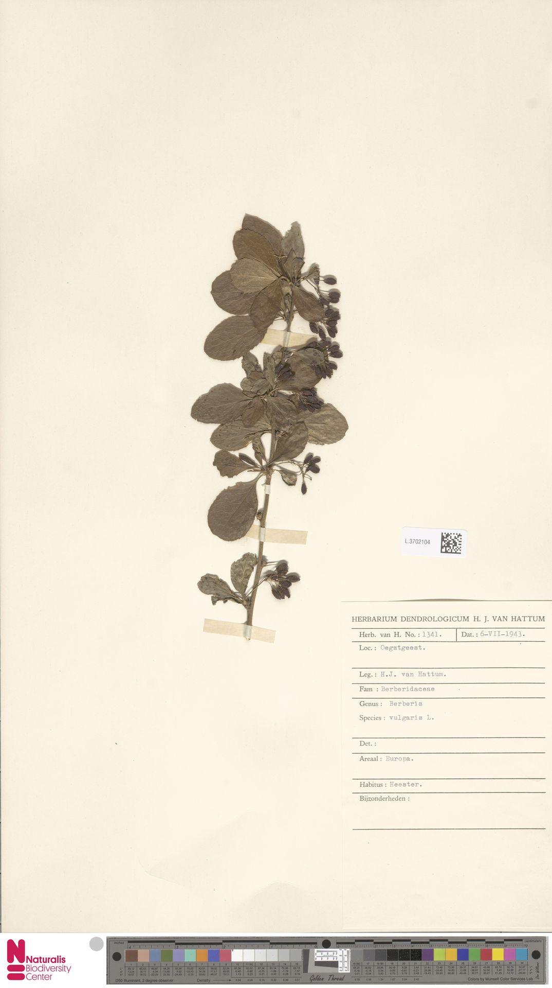 L.3702104 | Berberis vulgaris L.