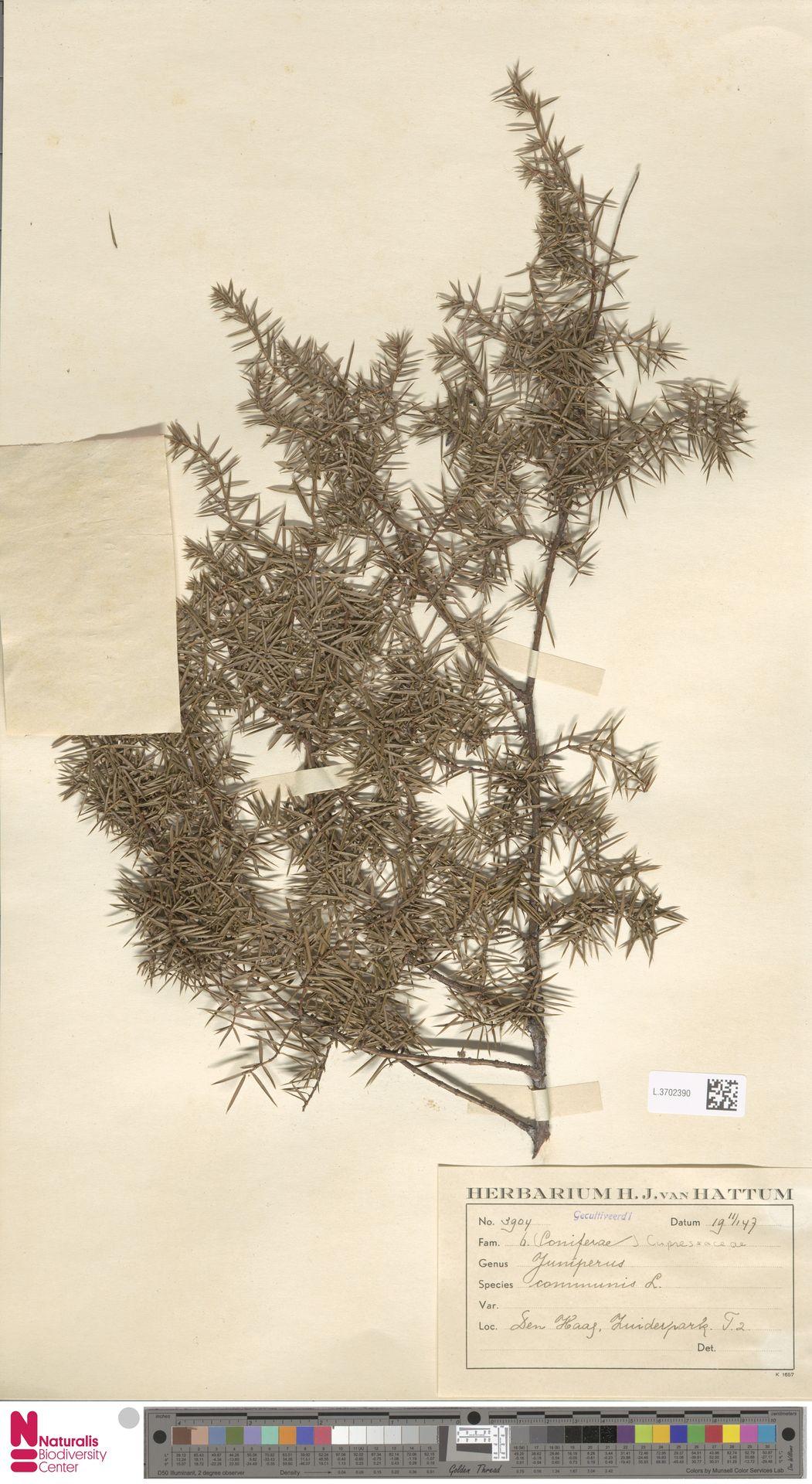 L.3702390   Juniperus communis L.