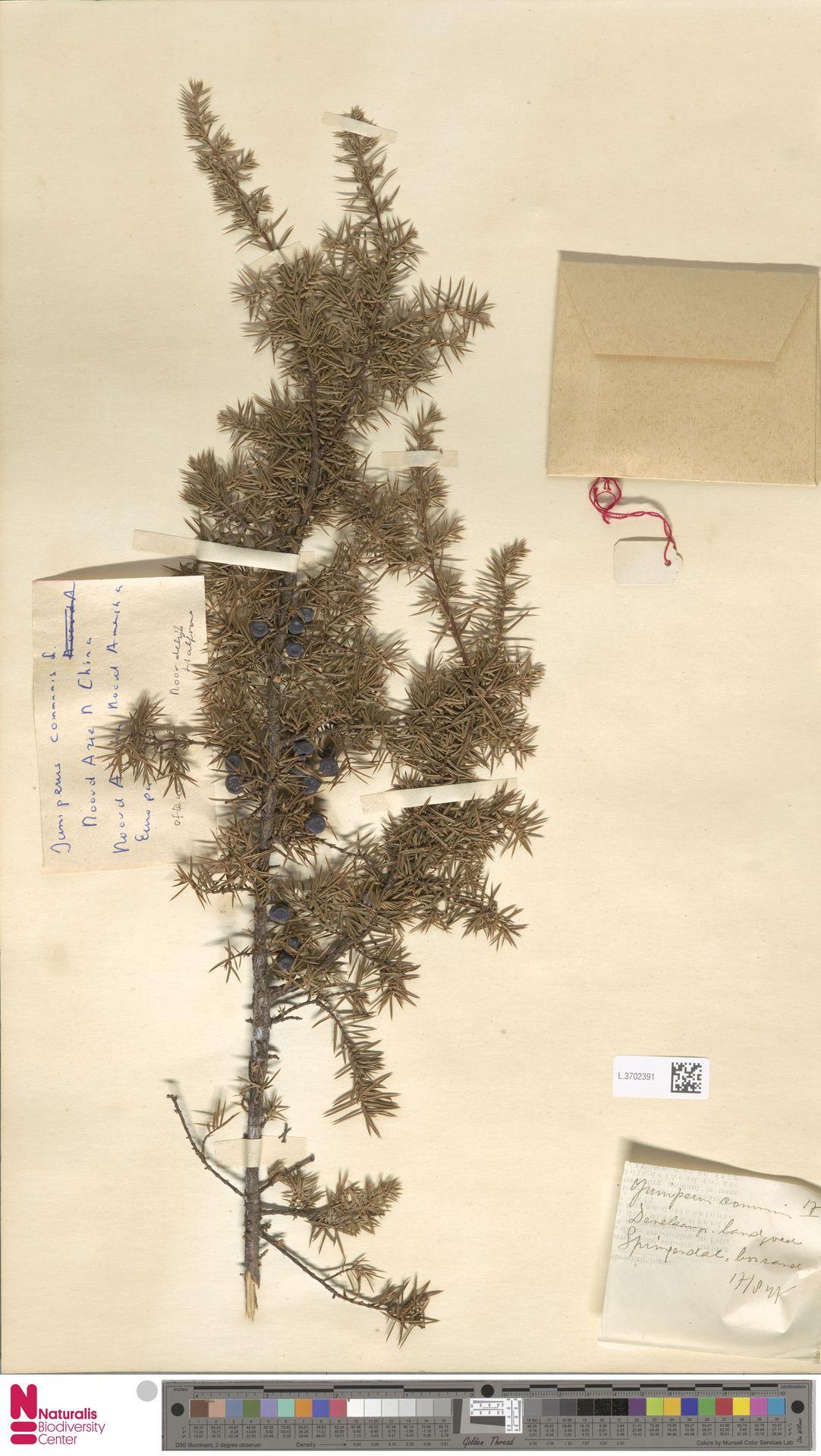 L.3702391 | Juniperus communis L.