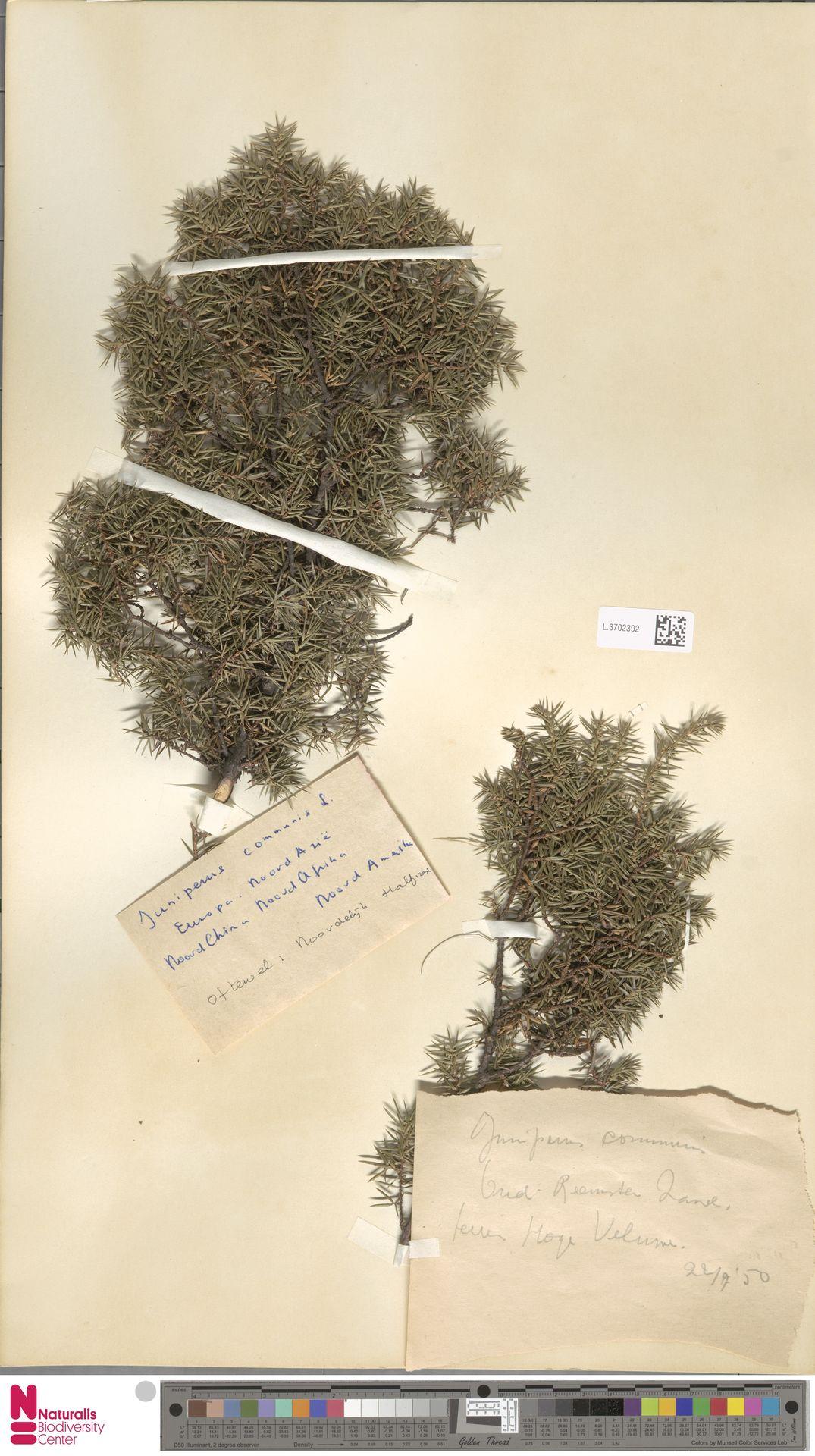 L.3702392 | Juniperus communis L.