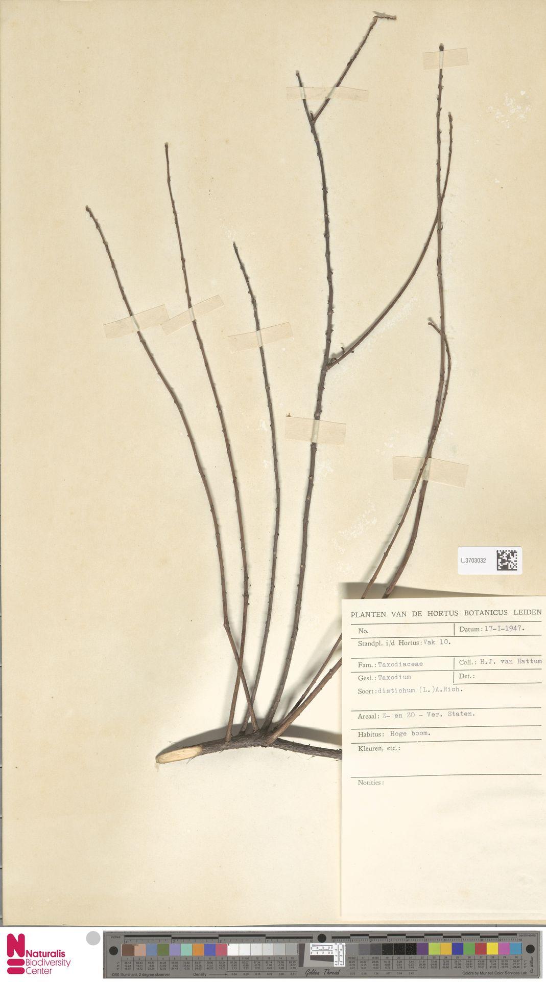 L.3703032 | Taxodium distichum (L.) Rich.