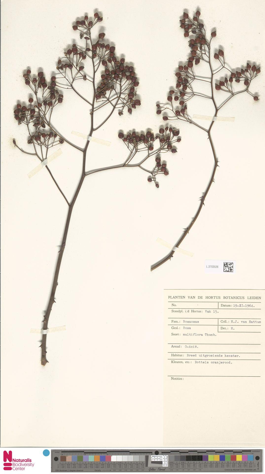 L.3703526 | Rosa multiflora Thunb.