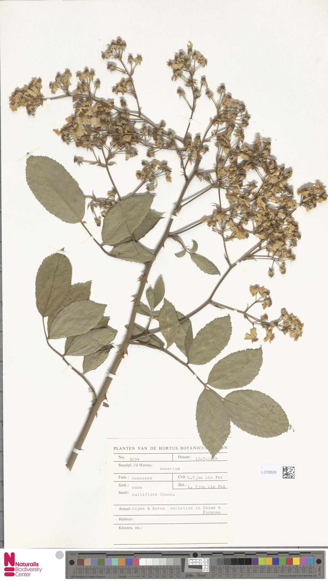L.3703528 | Rosa multiflora Thunb.
