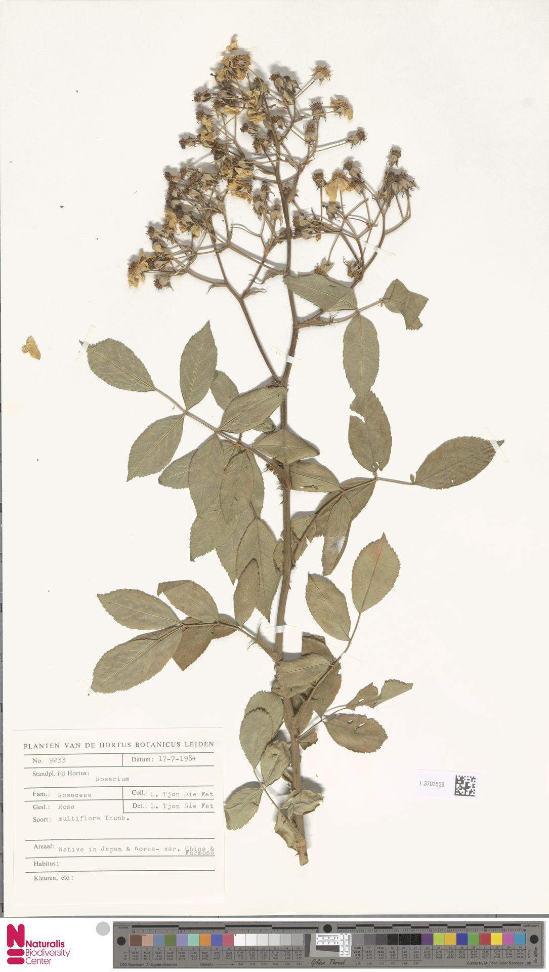 L.3703529 | Rosa multiflora Thunb.