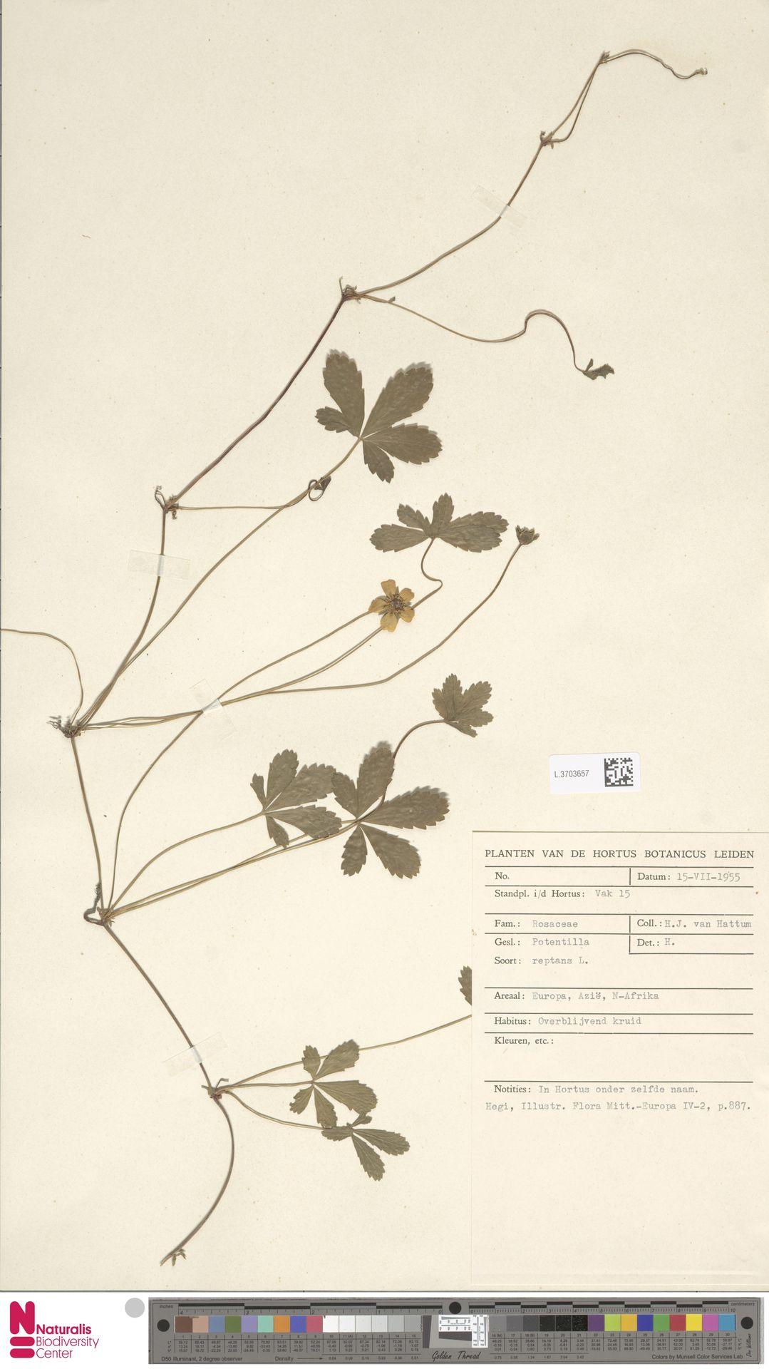 L.3703657 | Potentilla reptans L.