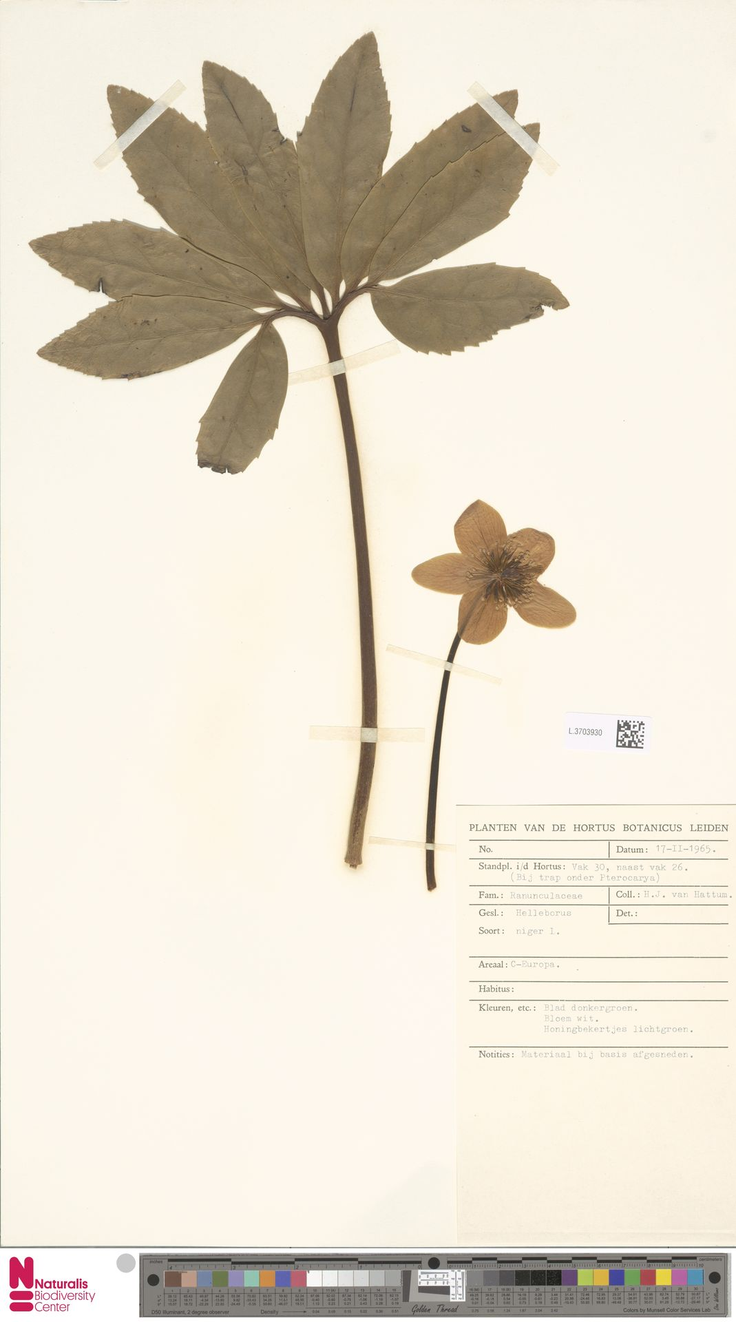 L.3703930 | Helleborus niger L.
