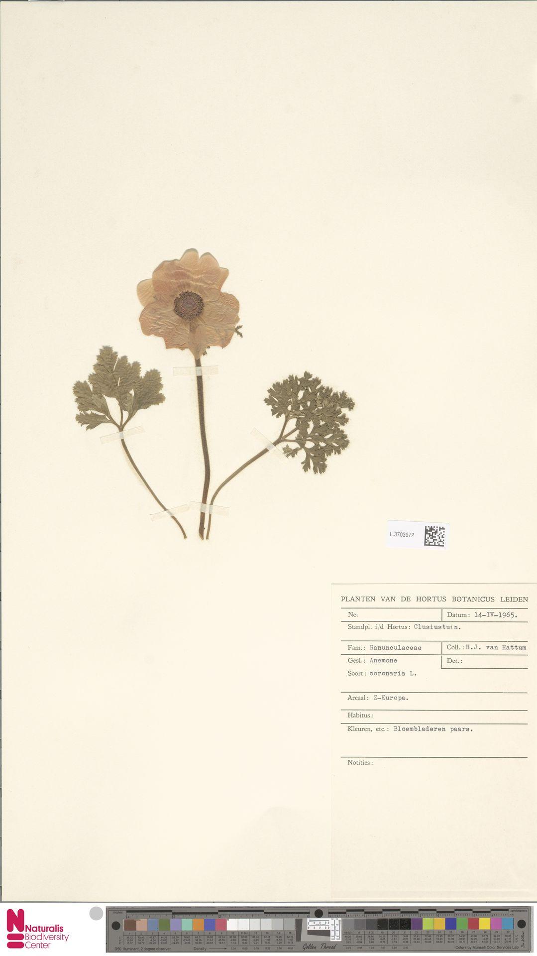 L.3703972 | Anemone coronaria L.