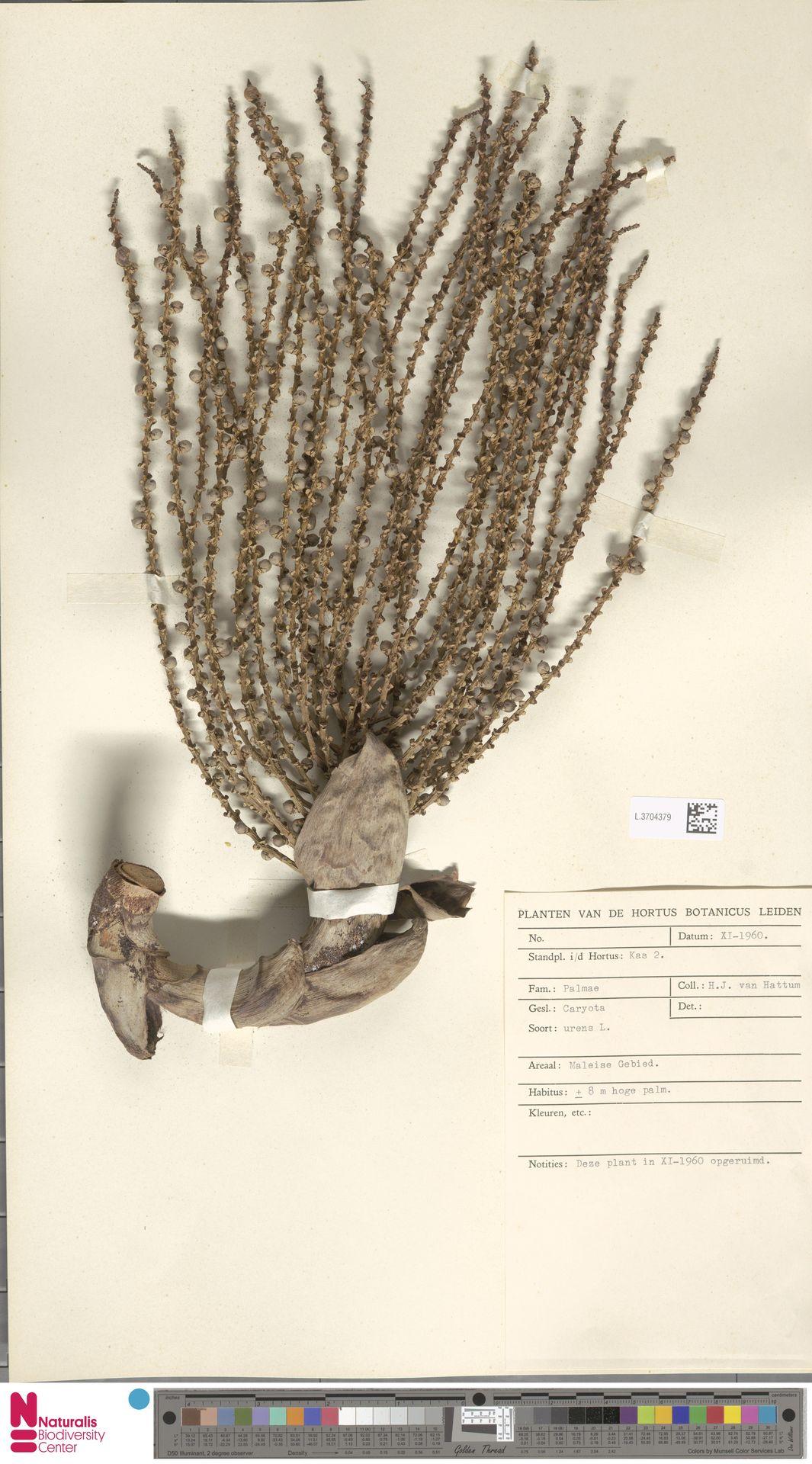 L.3704379 | Caryota urens L.