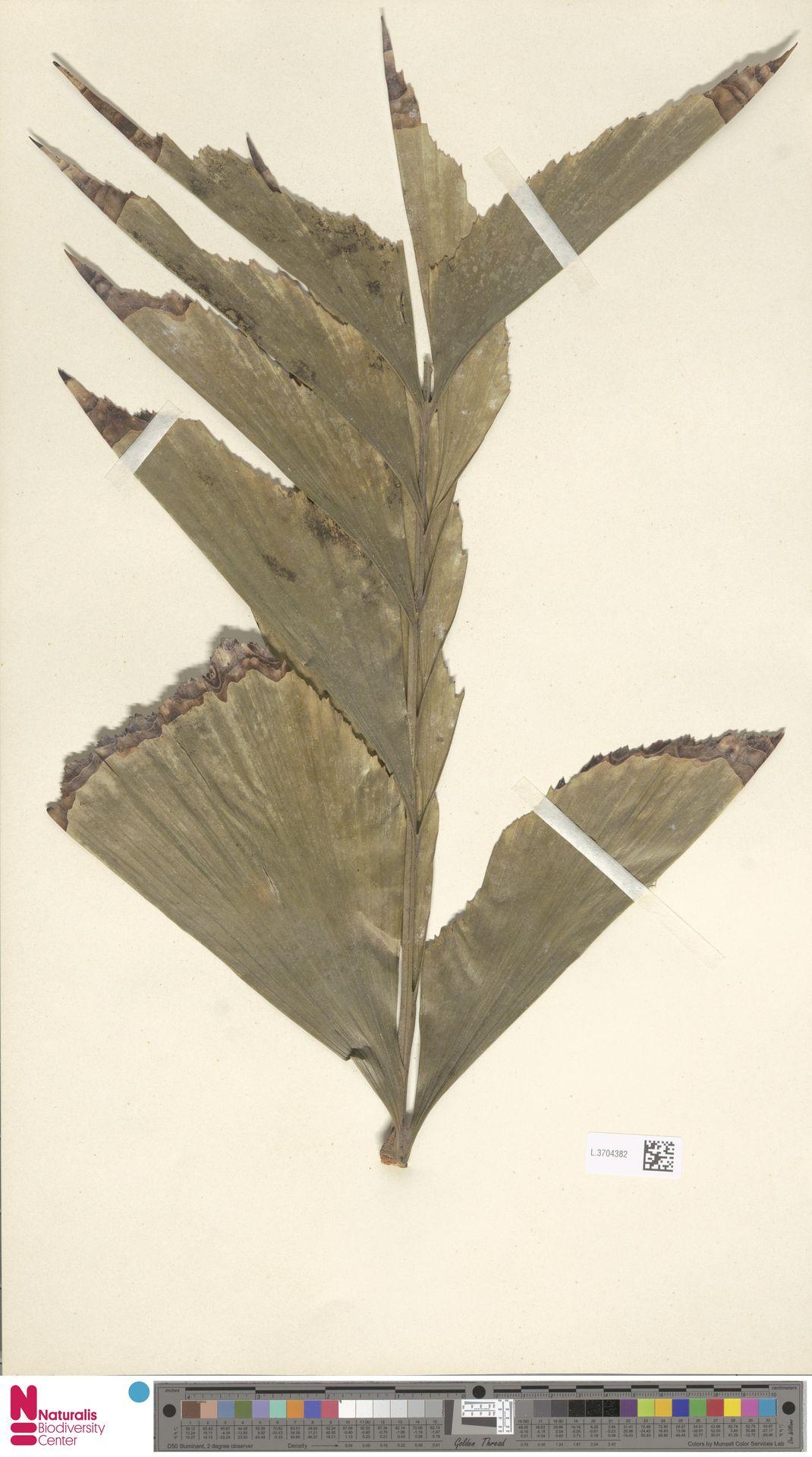 L.3704382 | Caryota urens L.