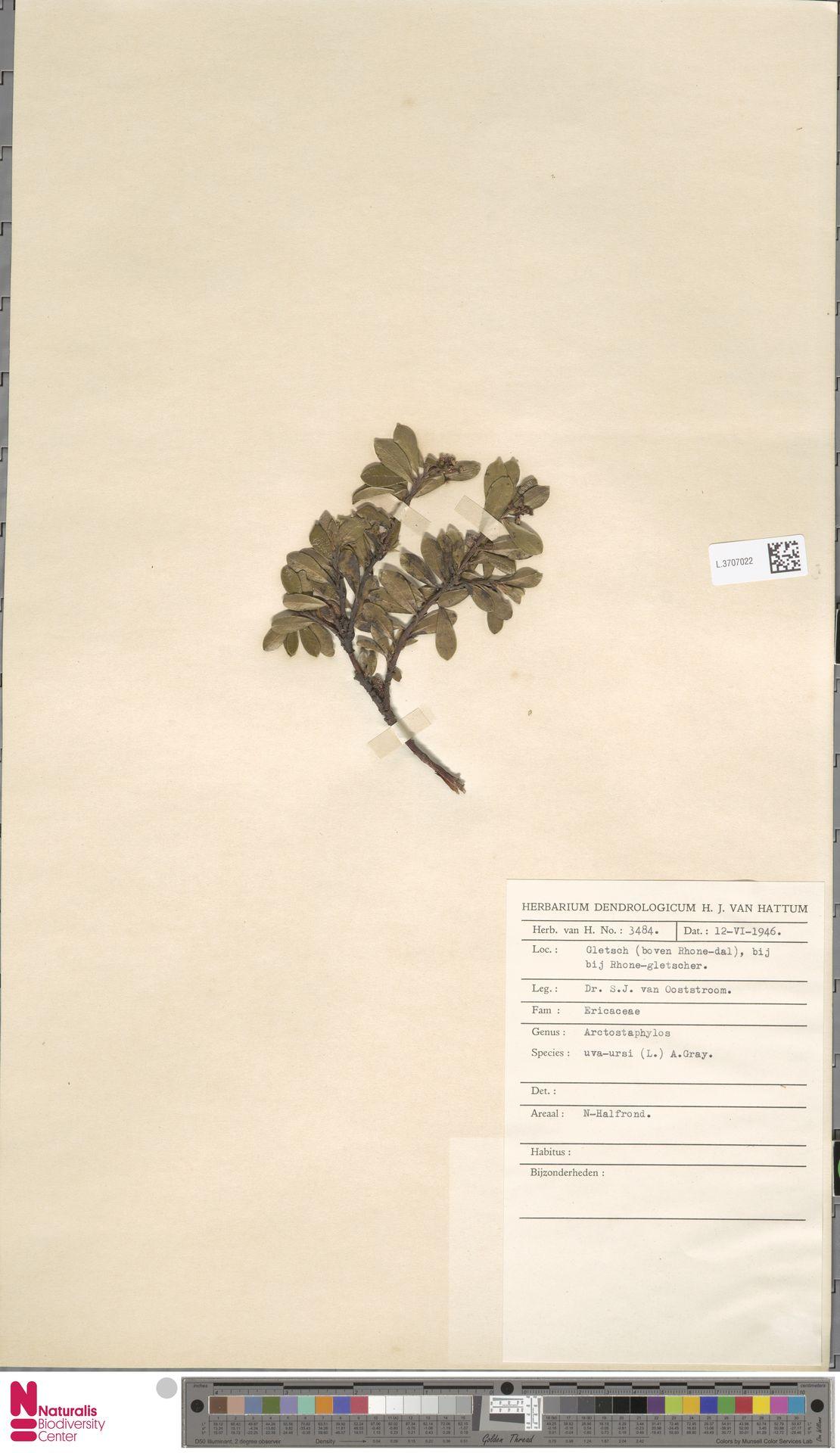 L.3707022 | Arctostaphylos uva-ursi (L.) Spreng.