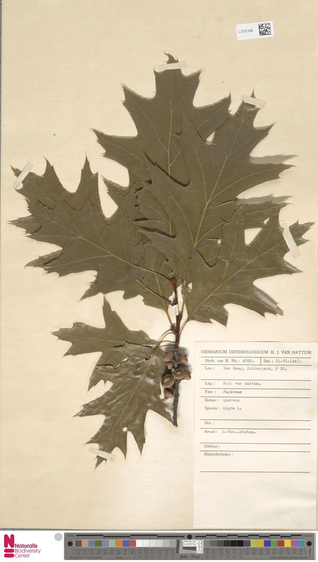 L.3707409 | Quercus nigra L.