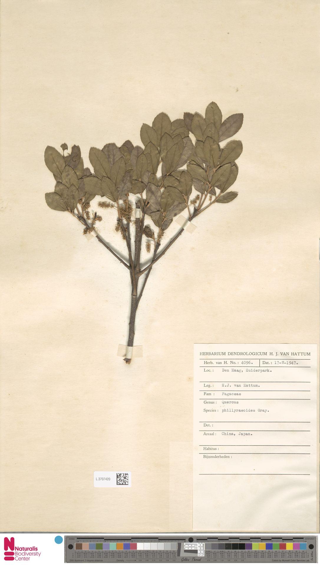 L.3707420 | Quercus phillyreoides A.Gray