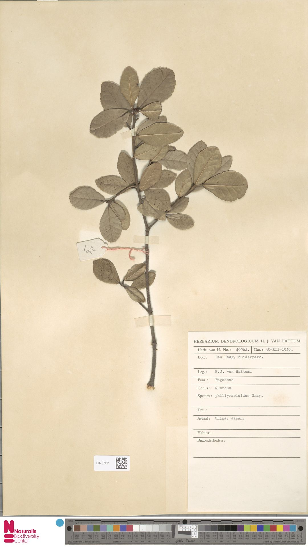L.3707421 | Quercus phillyreoides A.Gray
