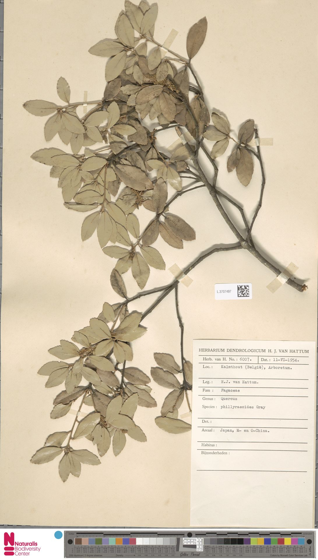 L.3707497 | Quercus phillyreoides A.Gray