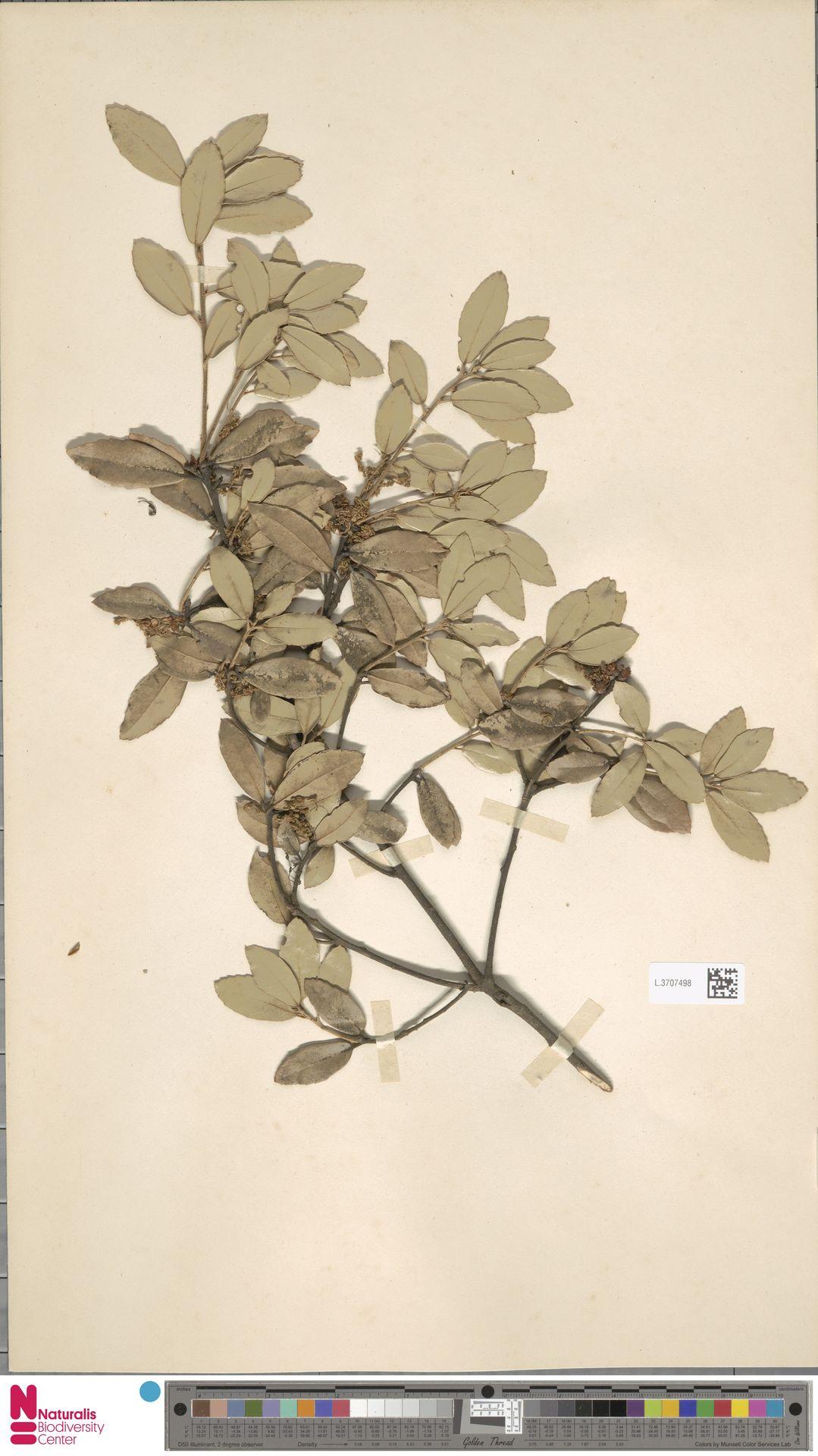 L.3707498   Quercus phillyreoides A.Gray