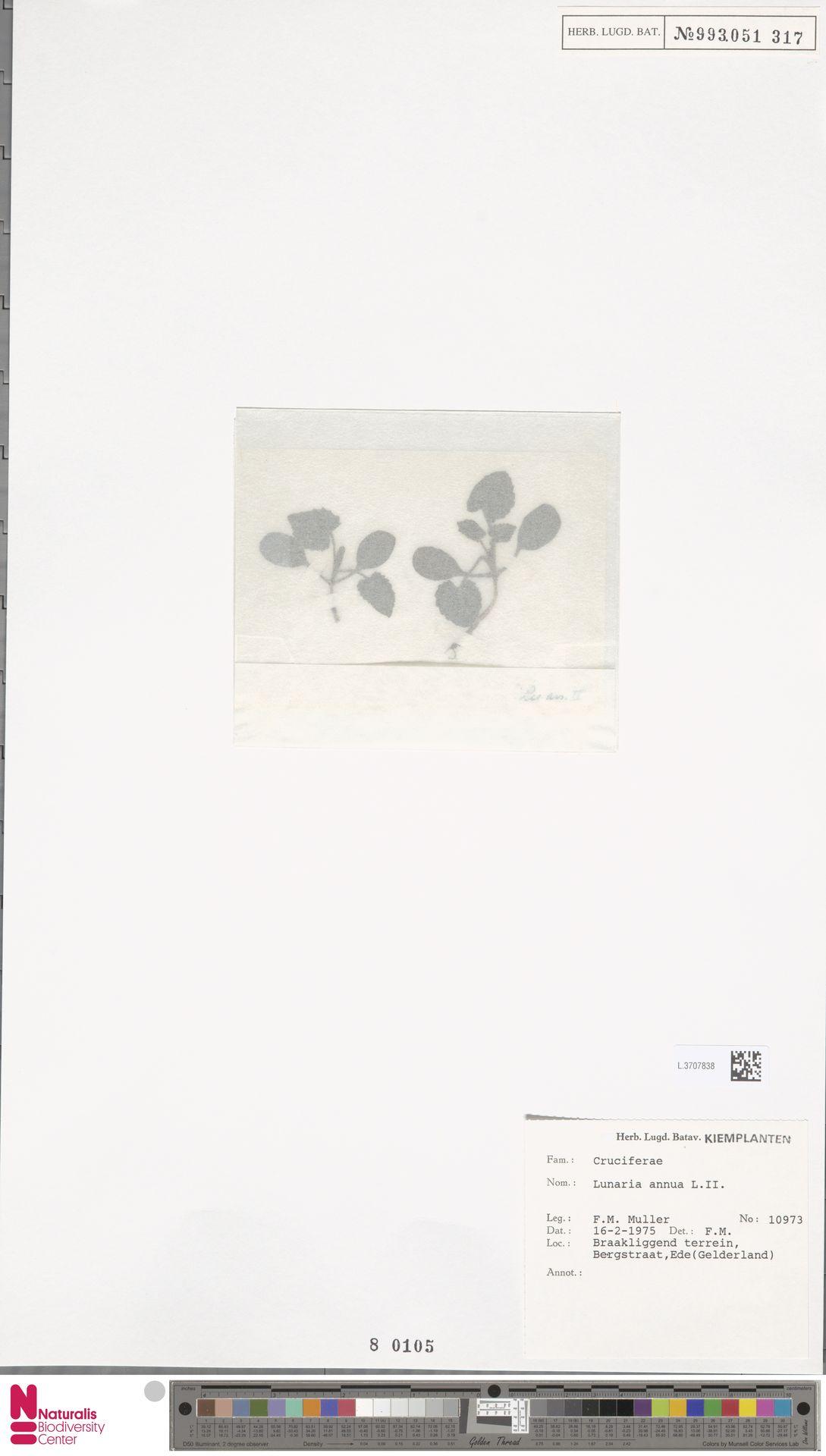 L.3707838 | Lunaria annua L.