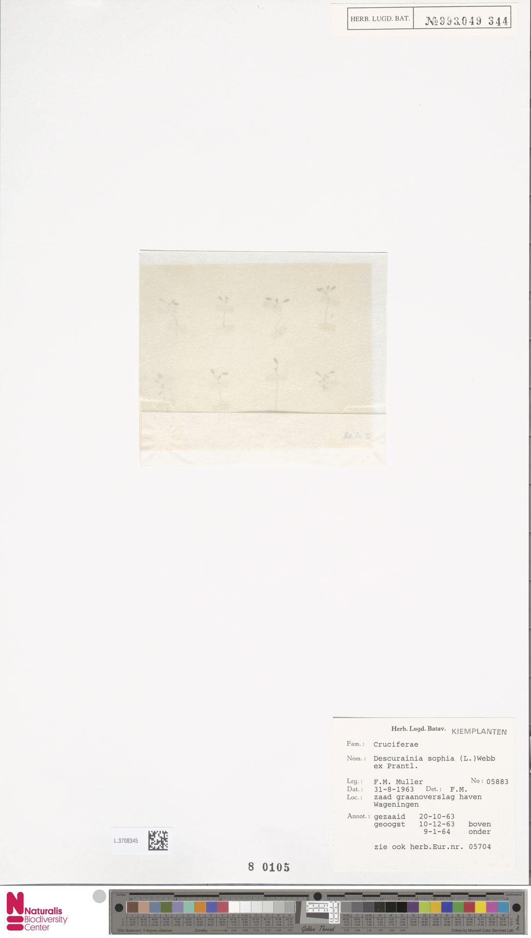 L.3708345 | Descurainia sophia (L.) Webb ex Prantl