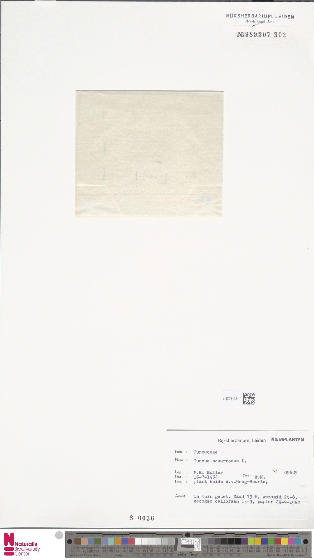 L.3708463 | Juncus squarrosus L.