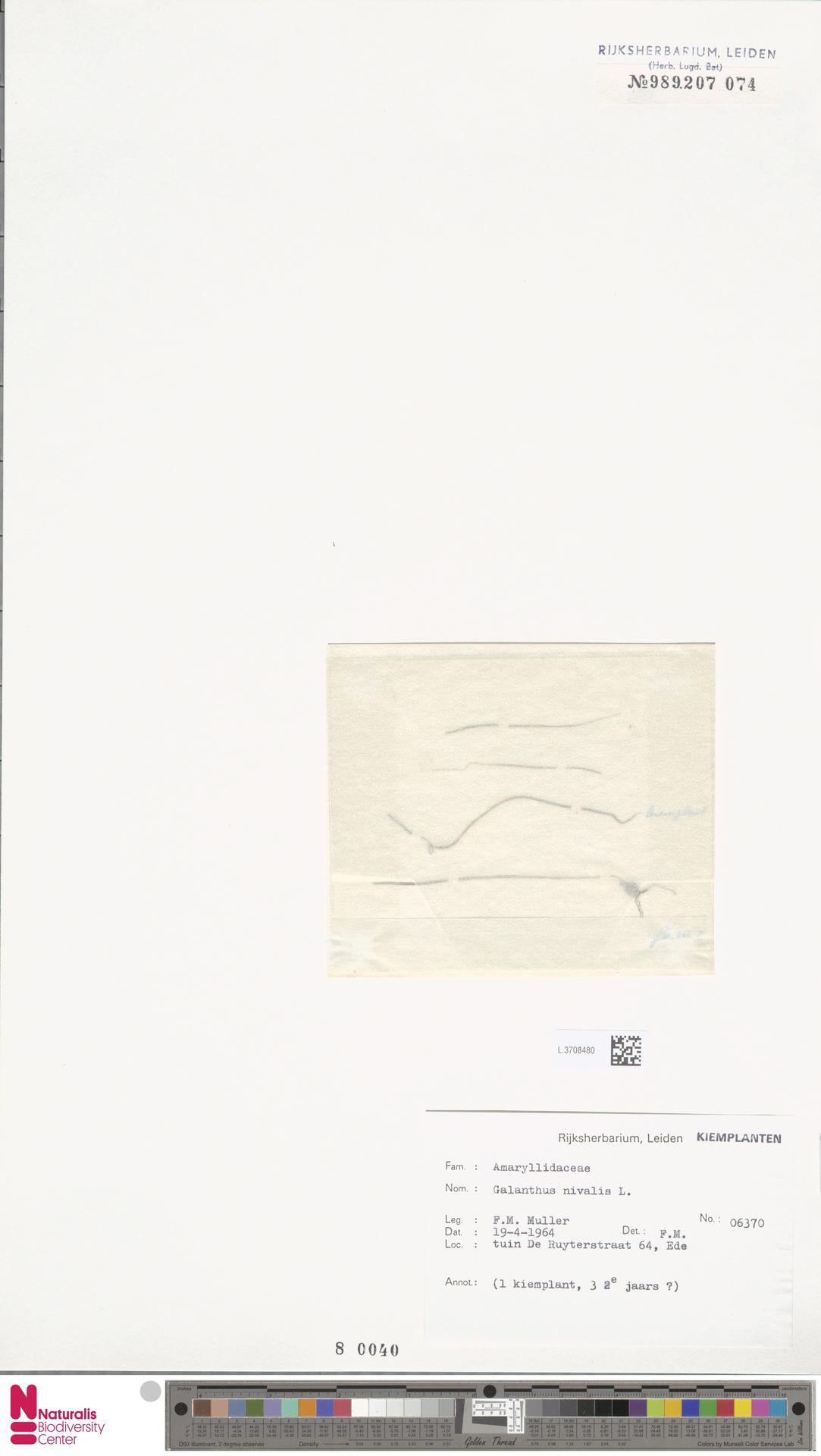 L.3708480 | Galanthus nivalis L.