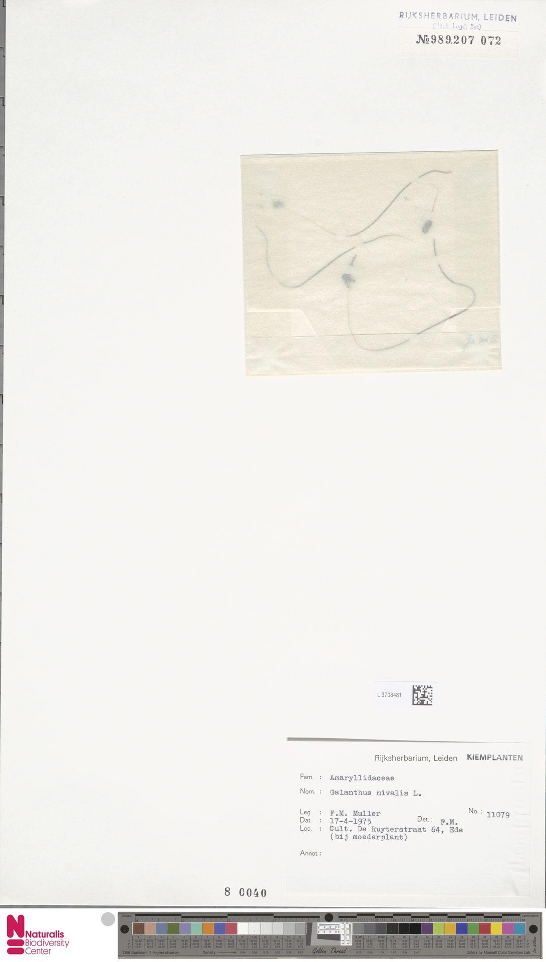 L.3708481 | Galanthus nivalis L.