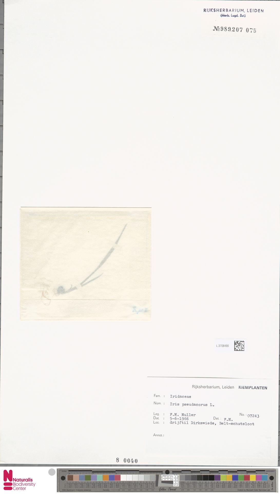 L.3708490 | Iris pseudacorus L.