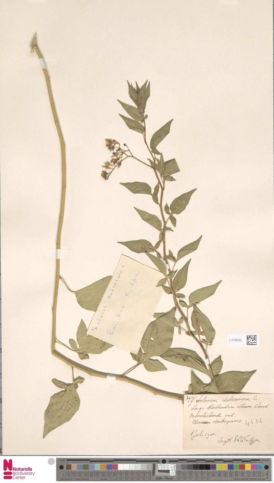 L.3708553   Solanum dulcamara L.