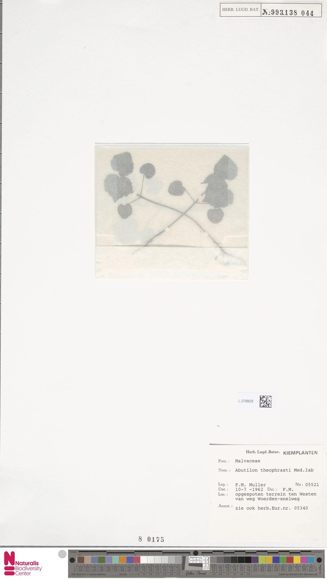 L.3708629 | Abutilon theophrasti Medik.