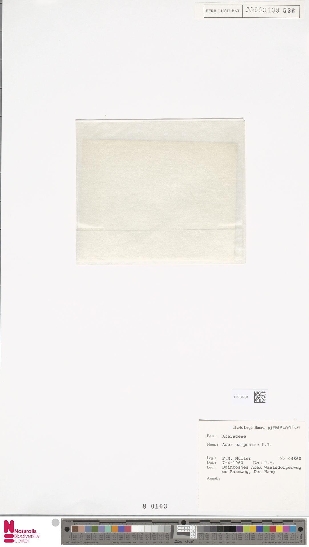 L.3708738 | Acer campestre L.