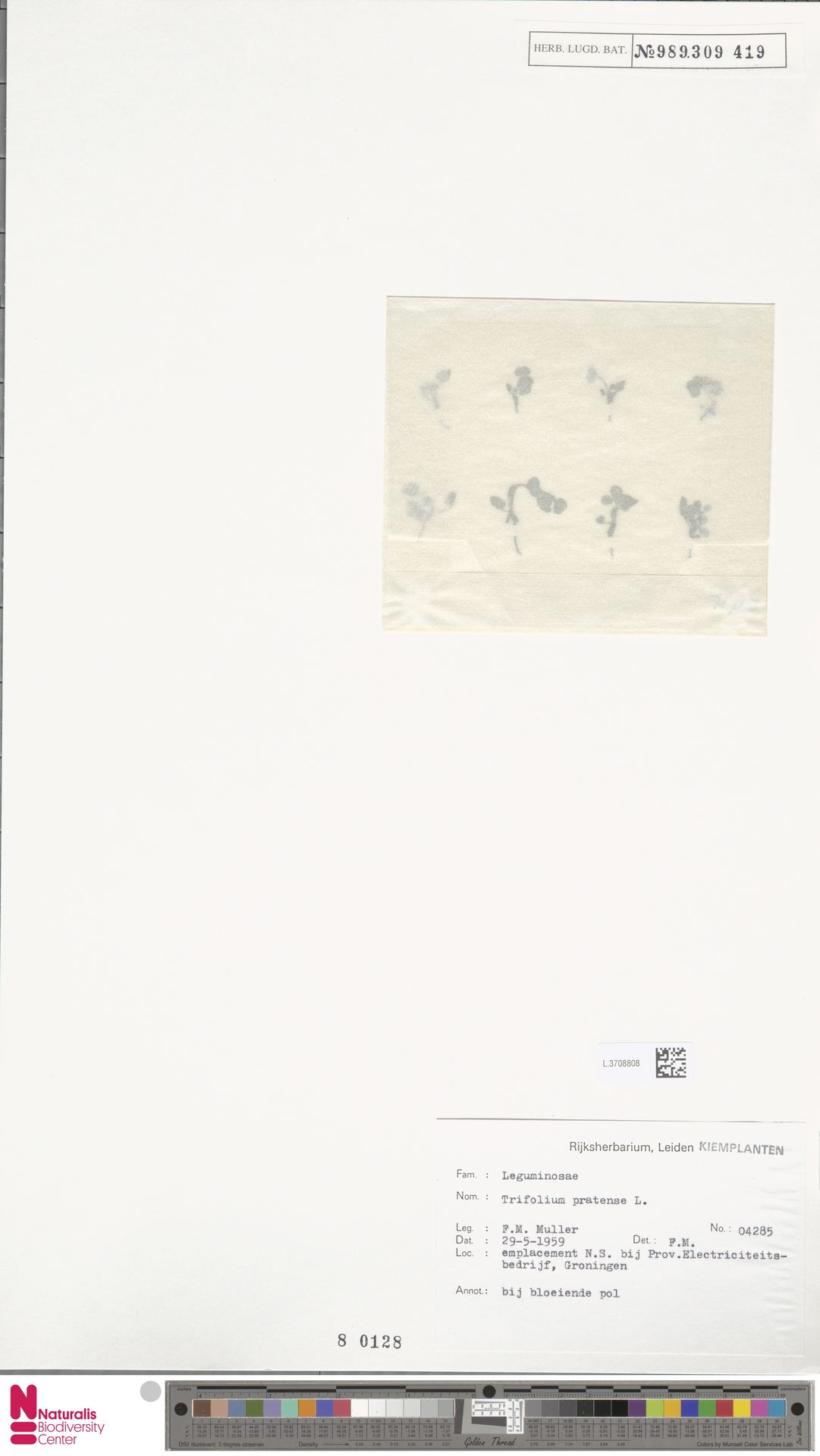 L.3708808 | Trifolium pratense L.