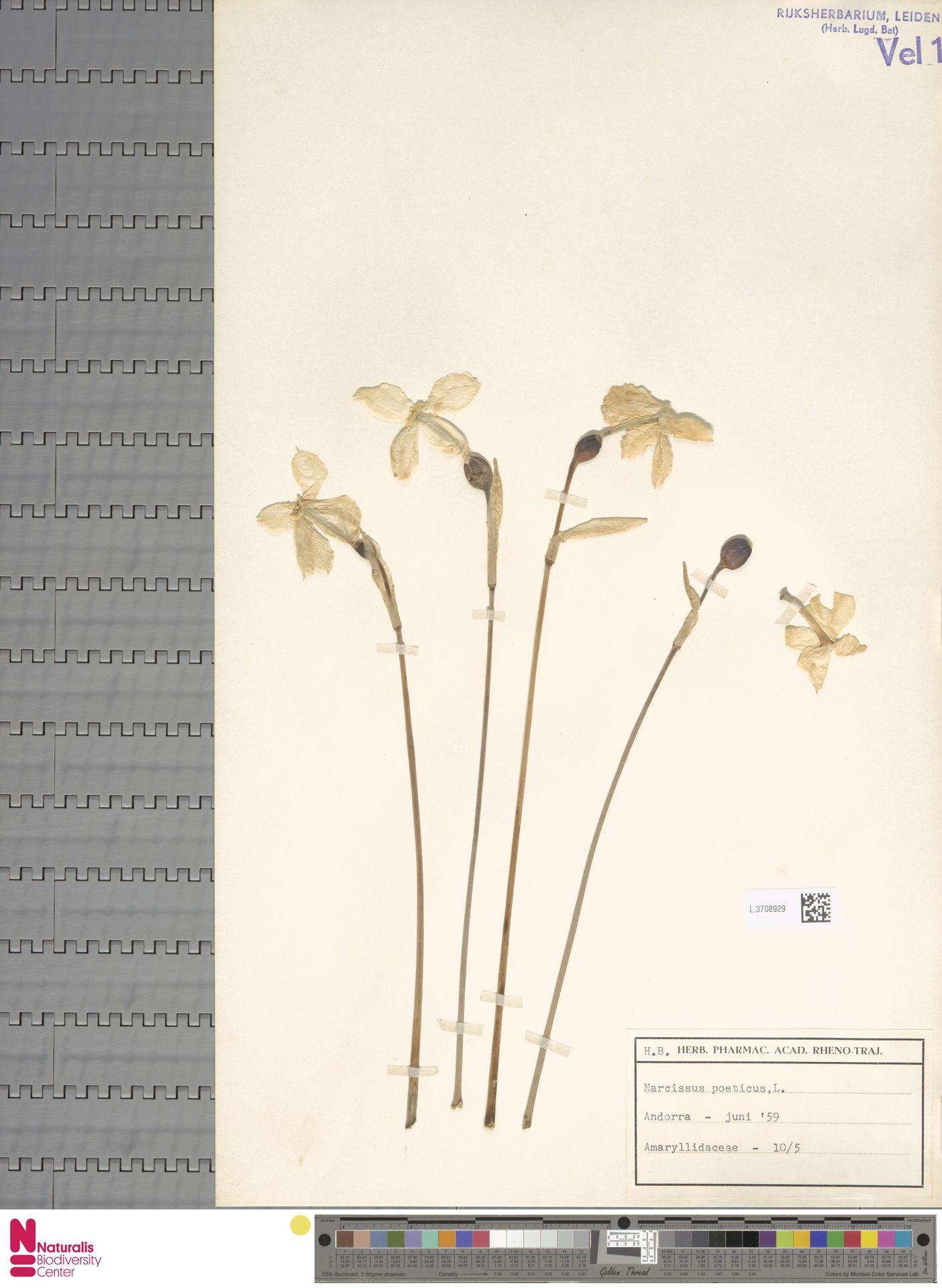 L.3708929 | Narcissus poeticus L.