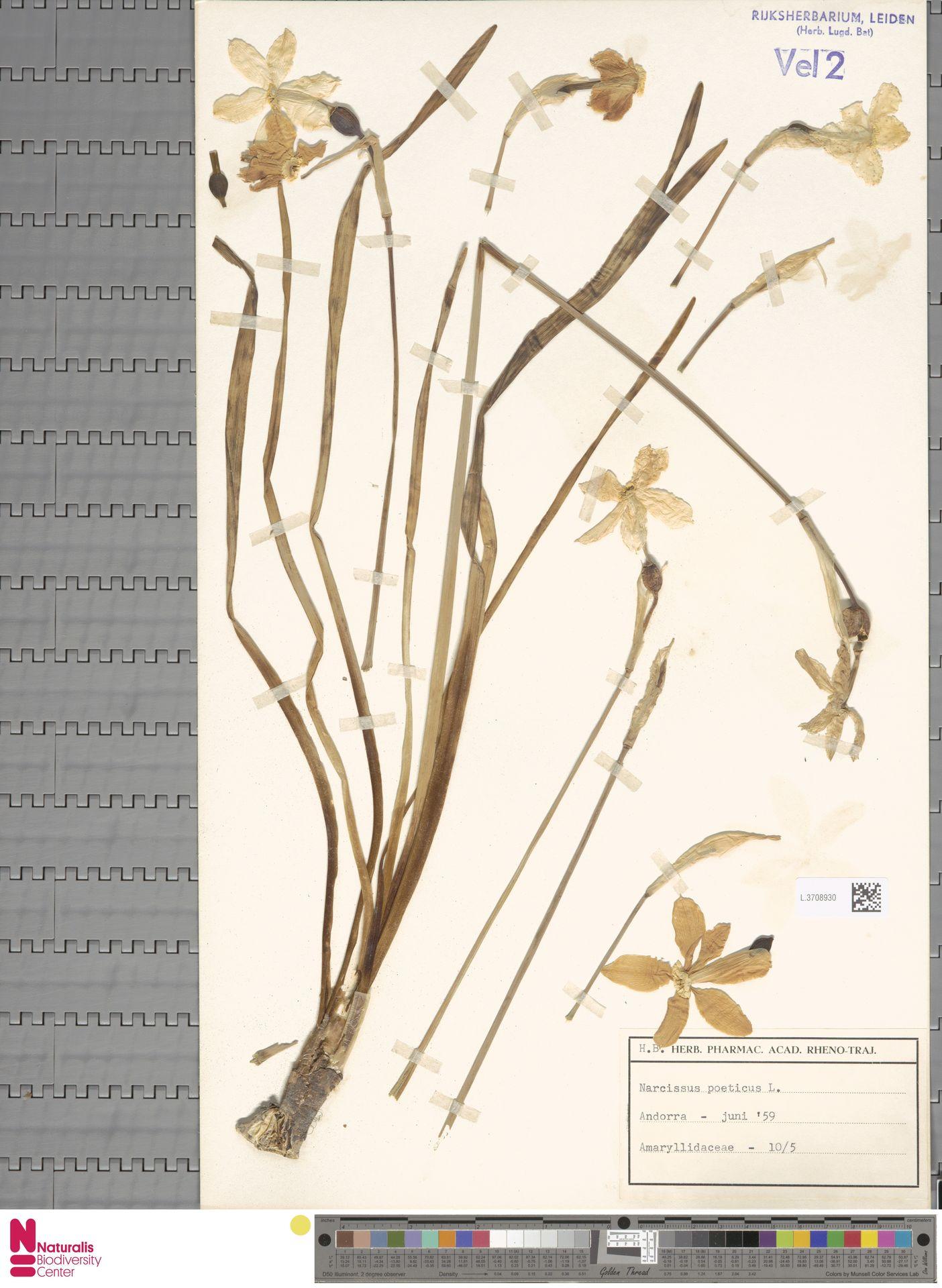 L.3708930 | Narcissus poeticus L.