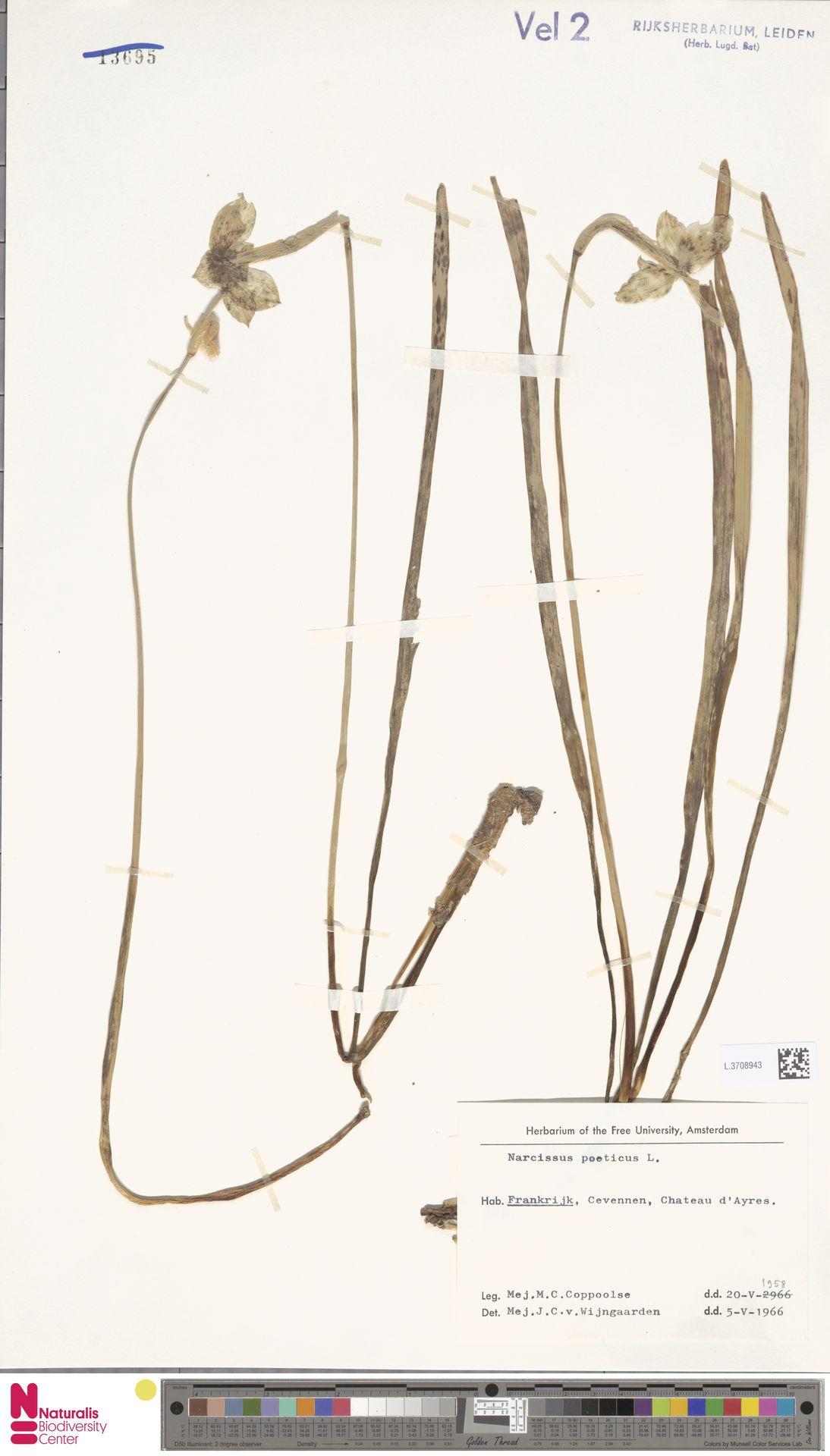 L.3708943   Narcissus poeticus L.