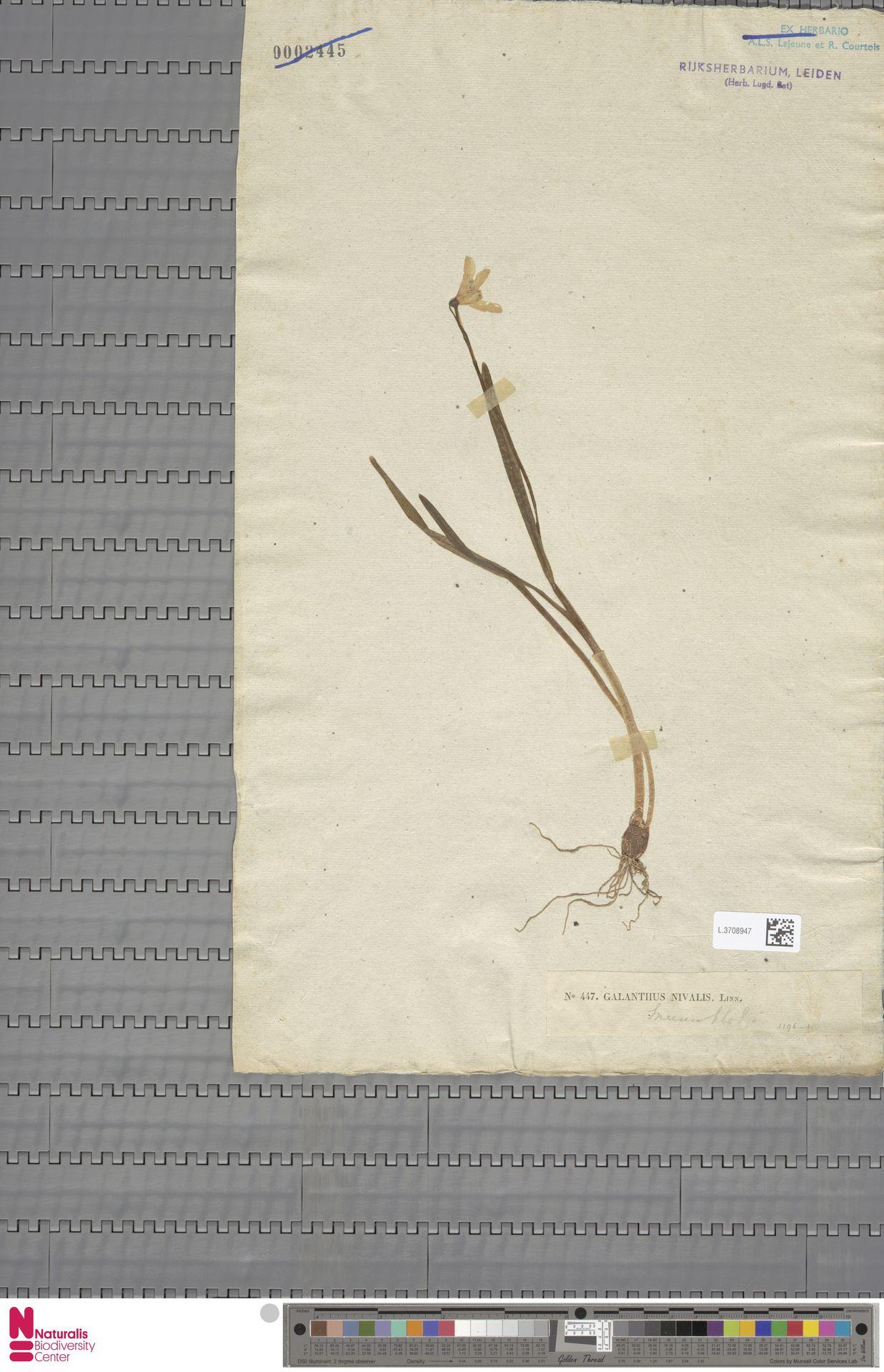 L.3708947 | Galanthus nivalis L.