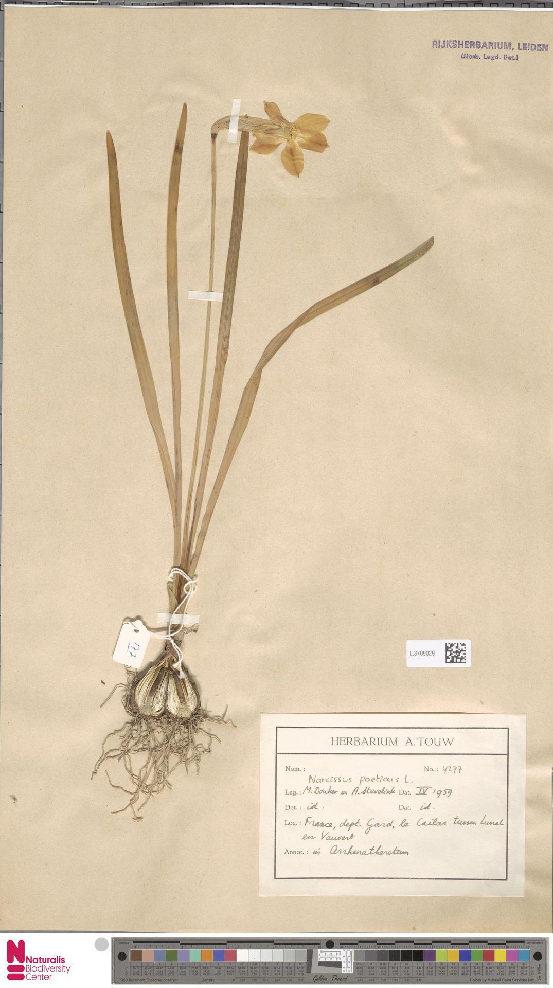 L.3709029   Narcissus poeticus L.