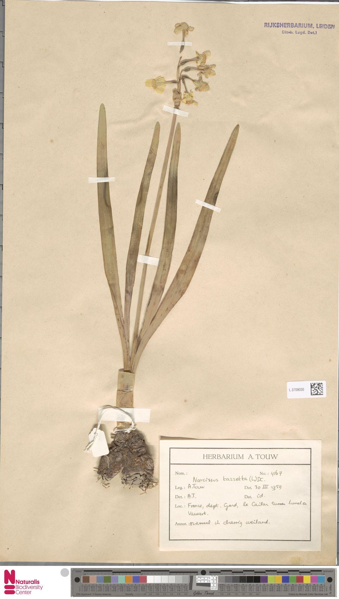 L.3709030   Narcissus tazetta L.
