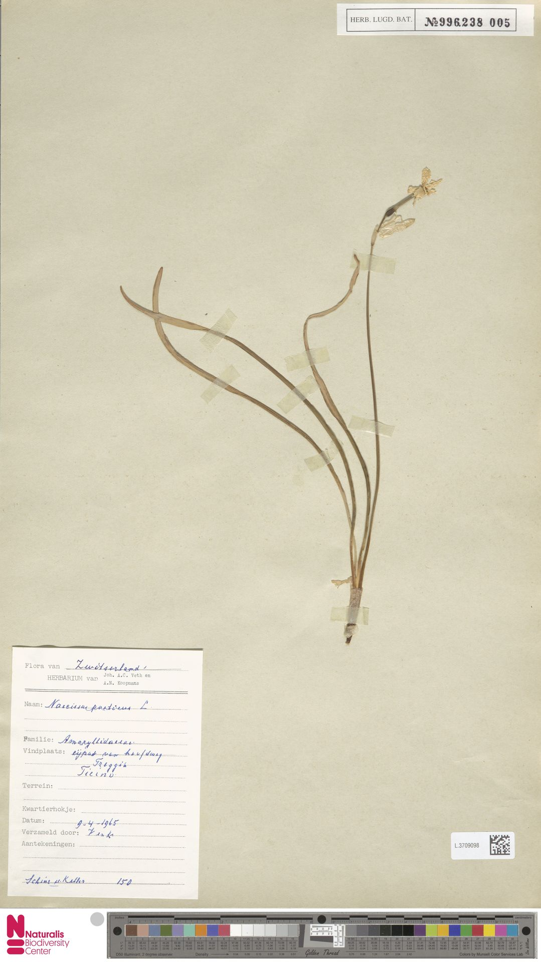 L.3709098   Narcissus poeticus L.