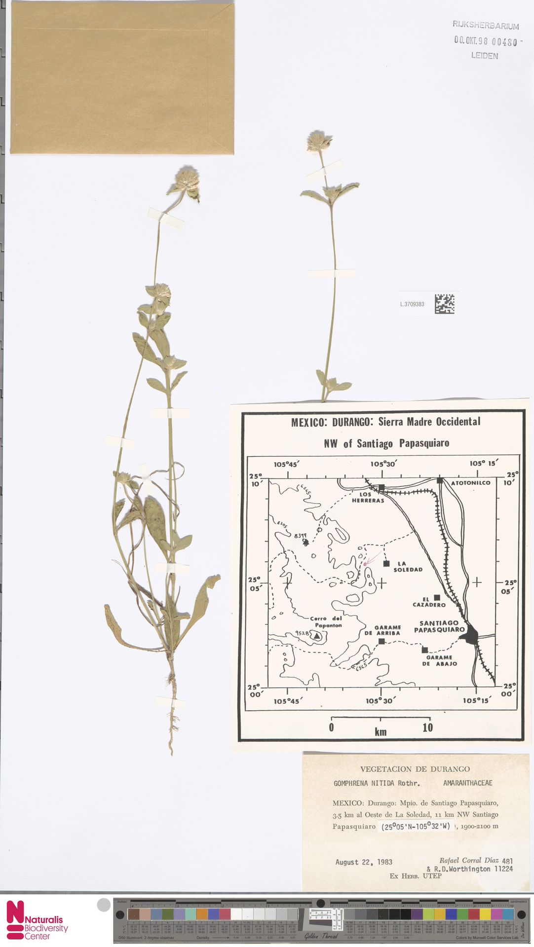 L.3709383 | Gomphrena nitida Rothr.