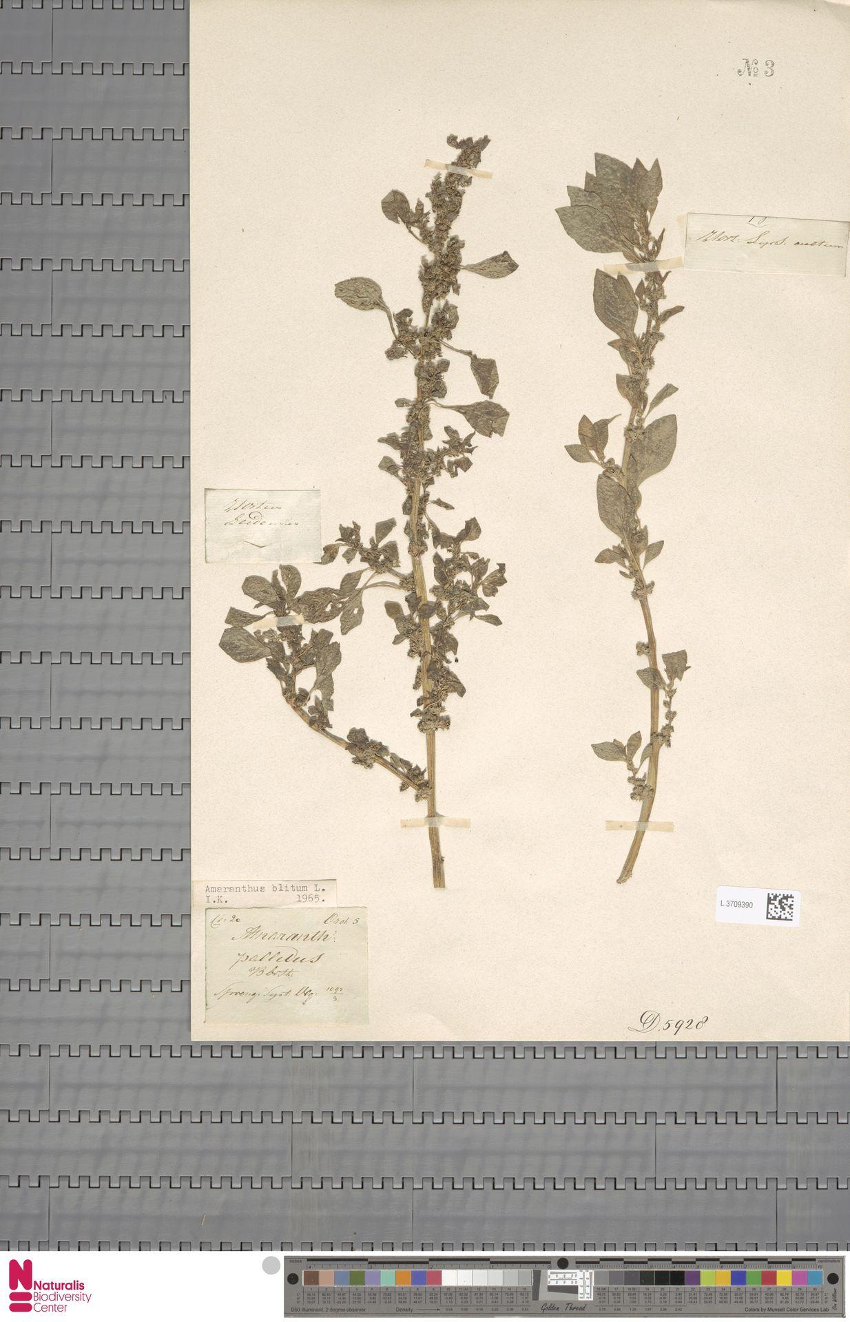 L.3709390 | Amaranthus blitum L.