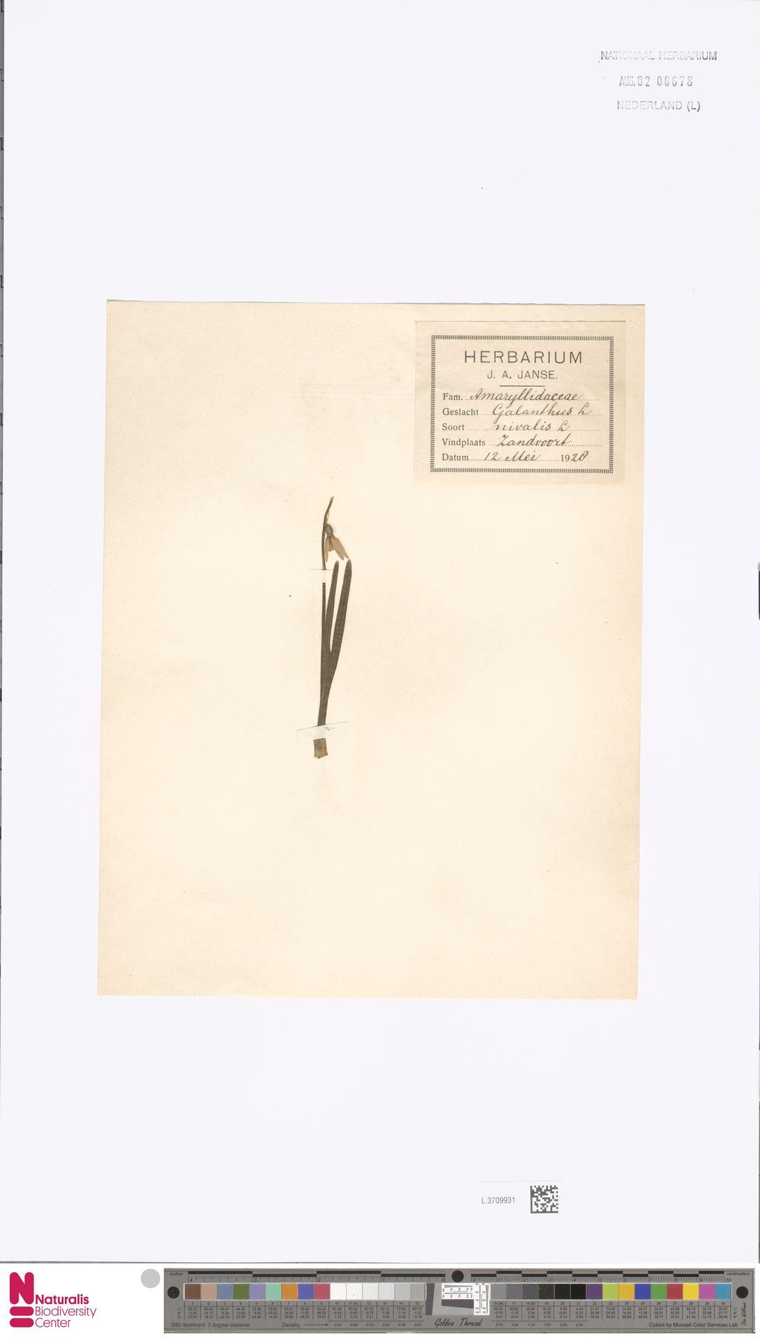 L.3709931 | Galanthus nivalis L.