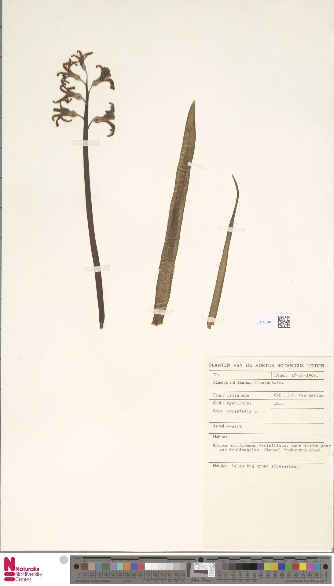 L.3710104 | Hyacinthus orientalis L.
