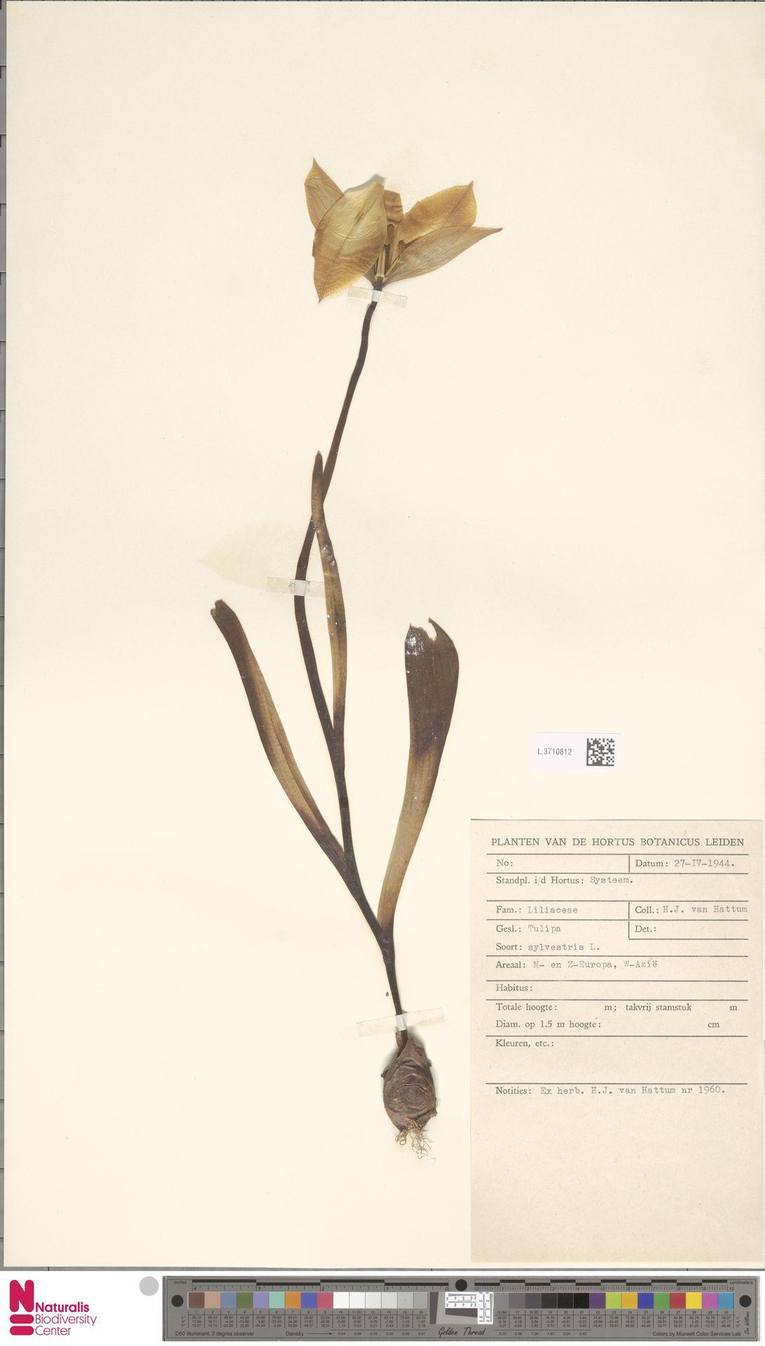 L.3710812 | Tulipa sylvestris L.