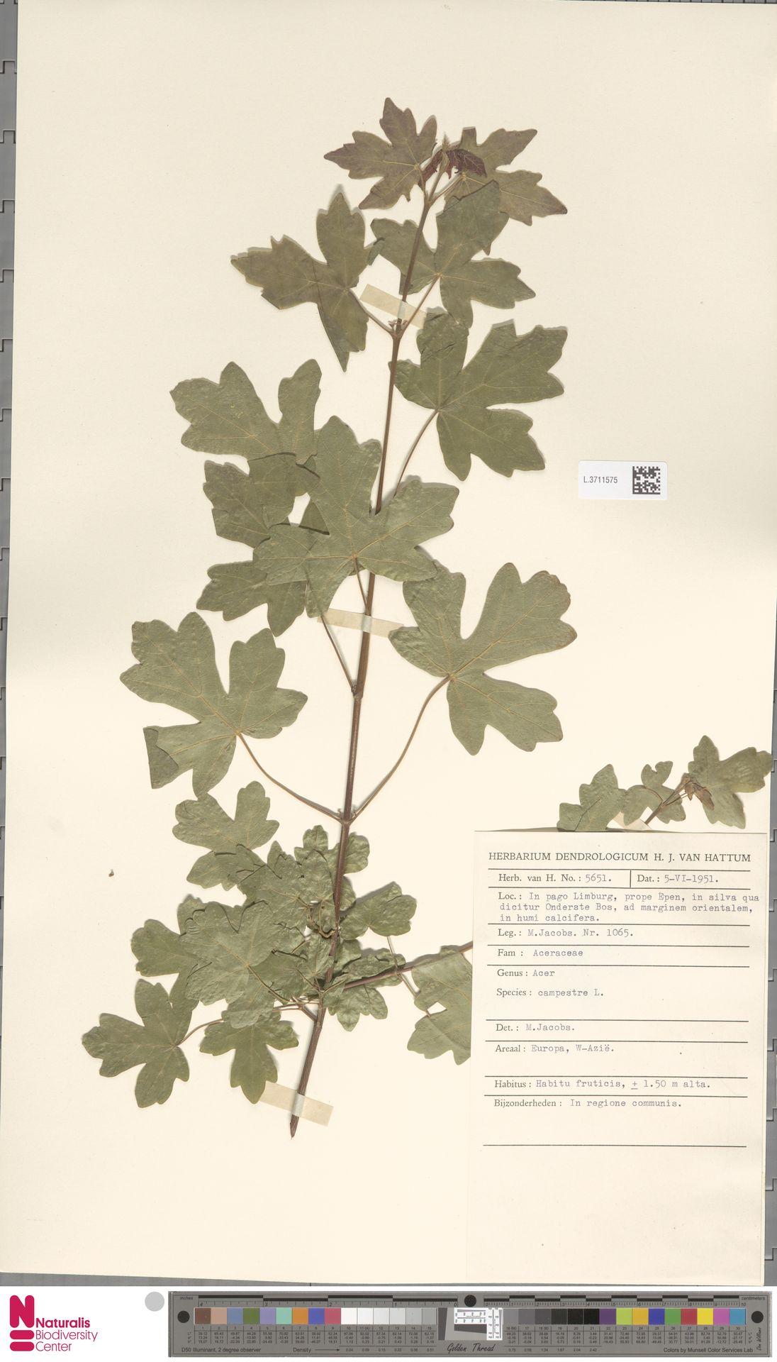 L.3711575 | Acer campestre L.