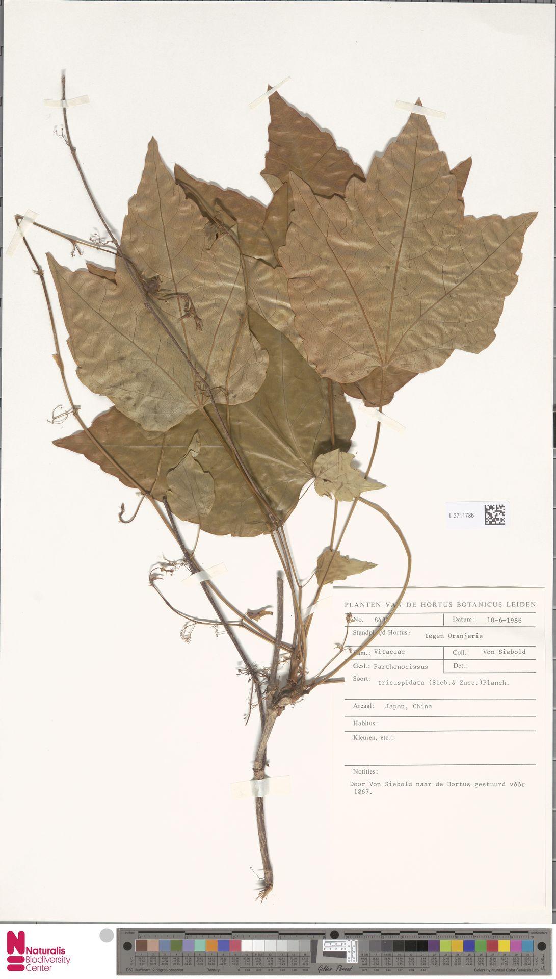 L.3711786   Parthenocissus tricuspidata (Siebold & Zucc.) Planch.