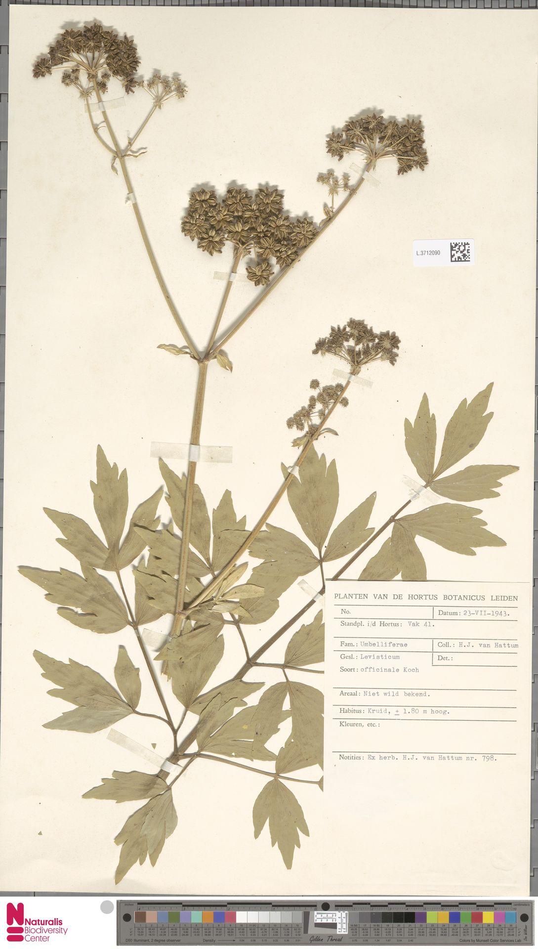 L.3712090 | Levisticum officinale W.D.J.Koch
